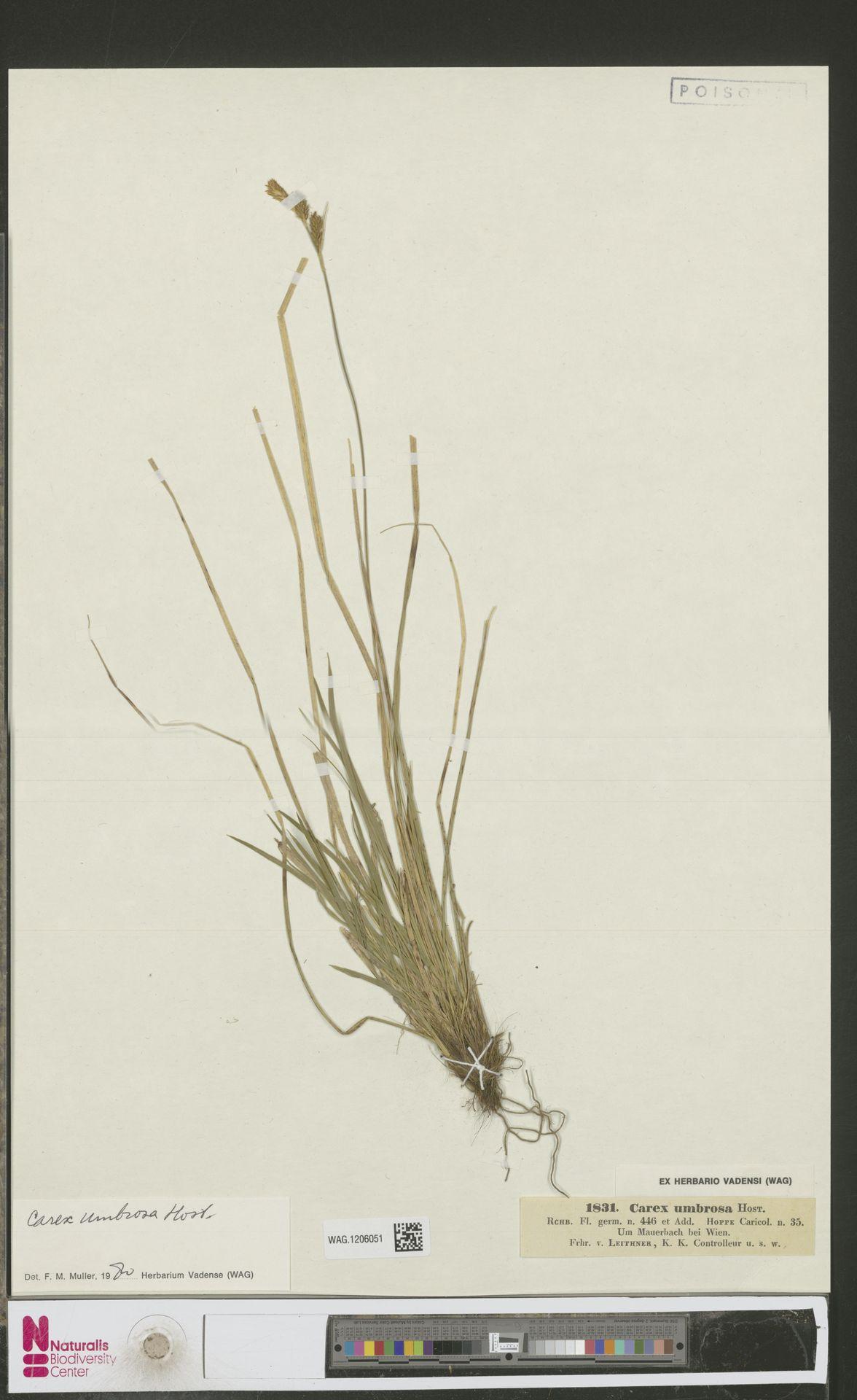 WAG.1206051 | Carex umbrosa Host
