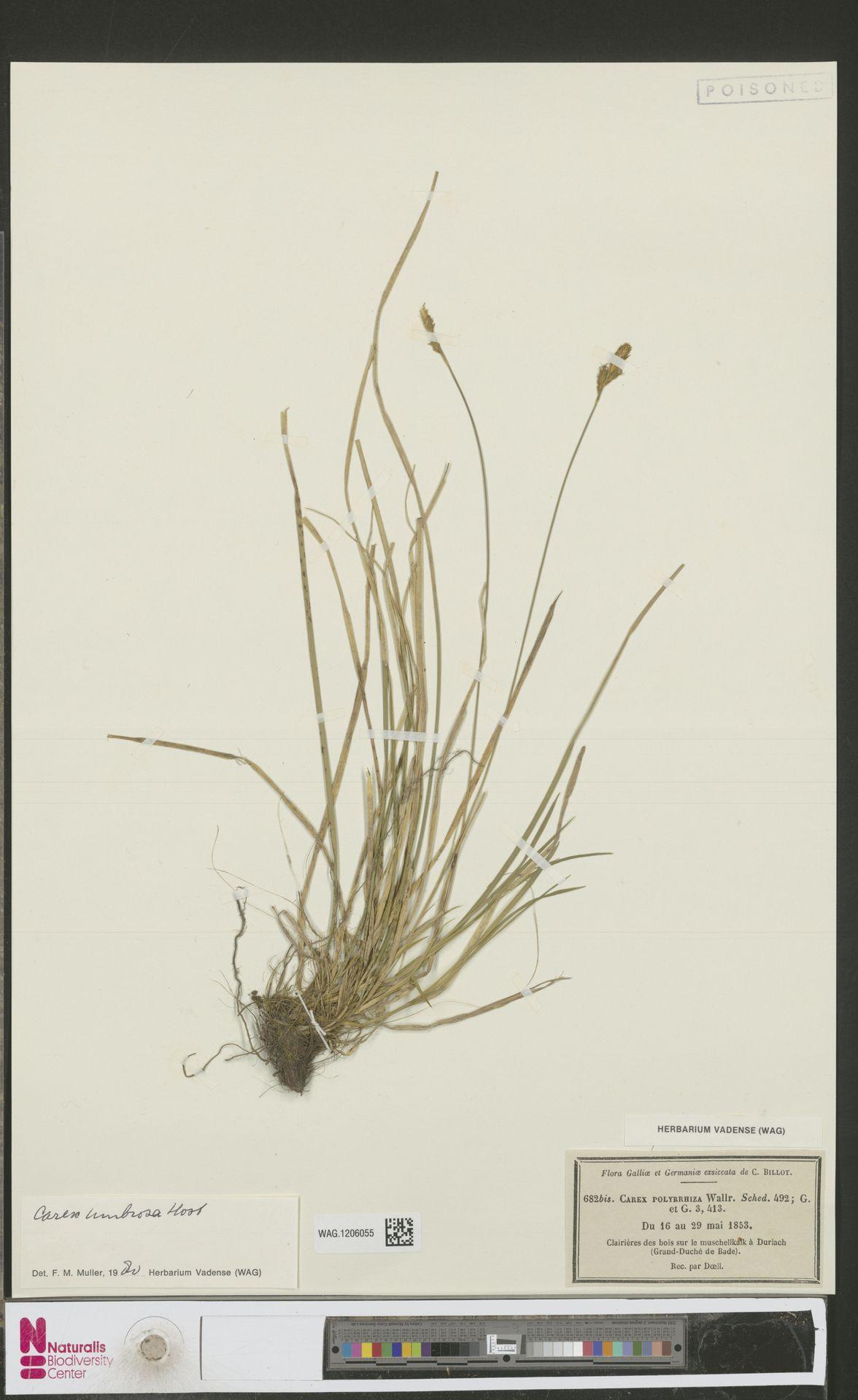 WAG.1206055 | Carex umbrosa Host