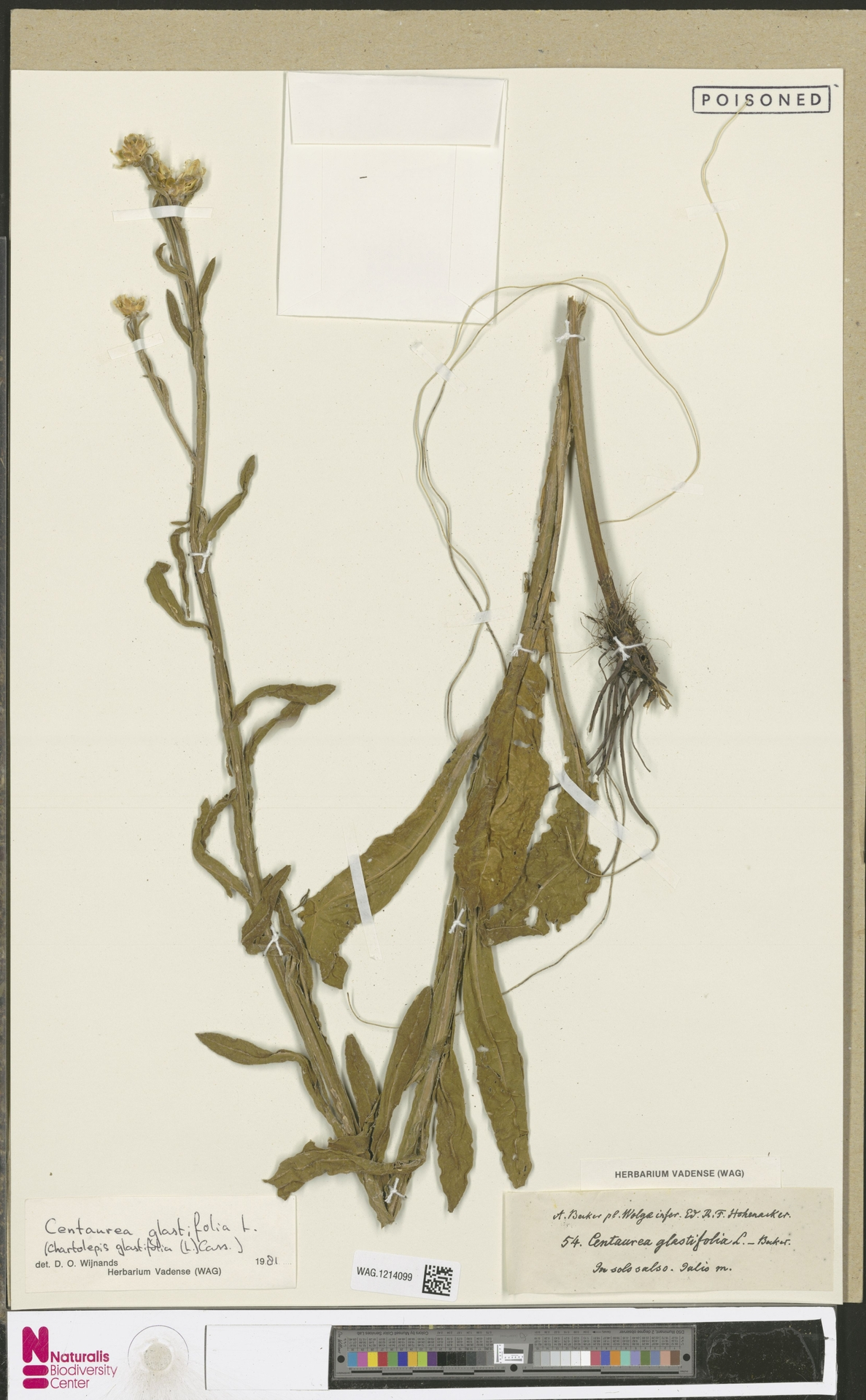 WAG.1214099 | Centaurea glastifolia L.