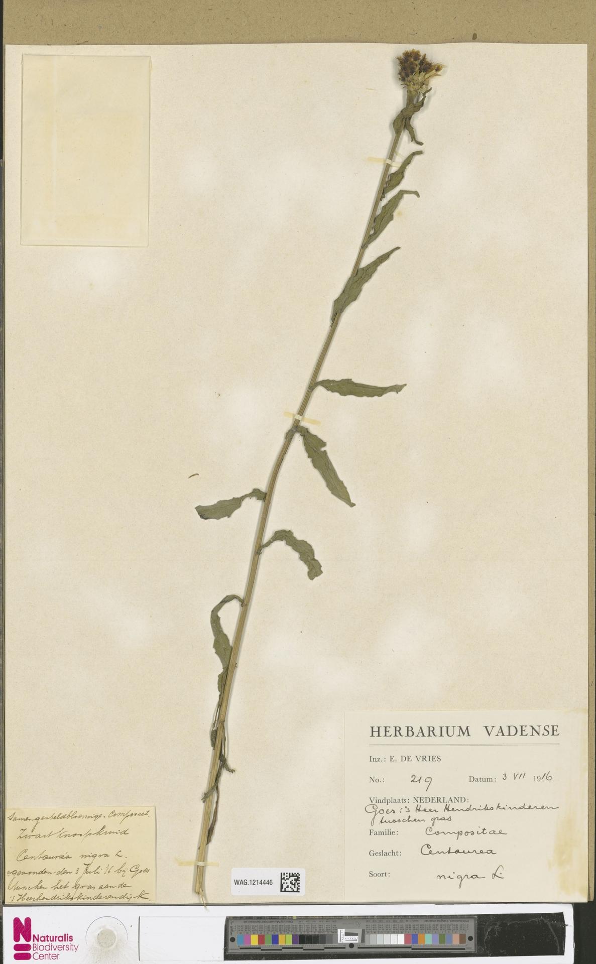 WAG.1214446 | Centaurea nigra L.