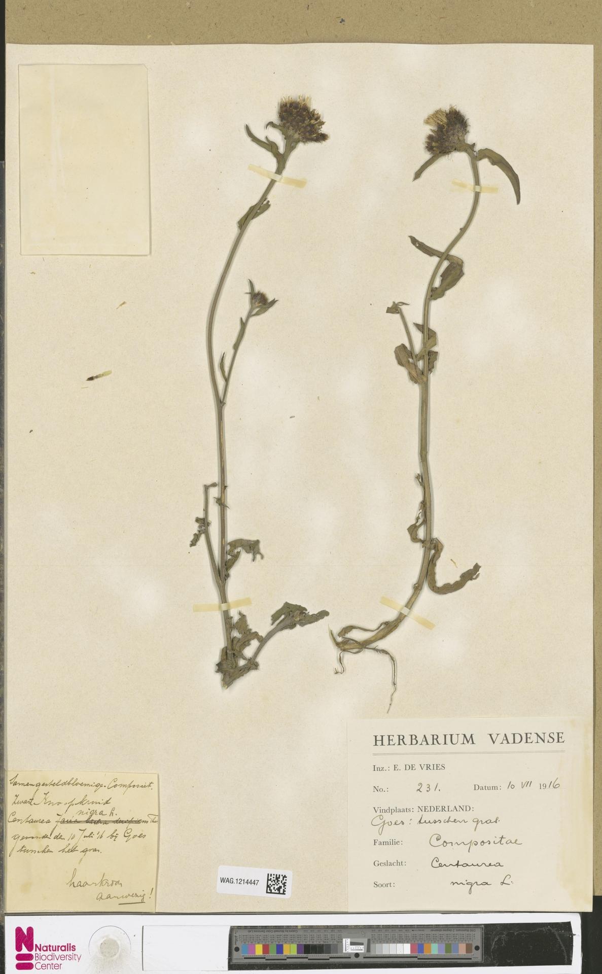 WAG.1214447 | Centaurea nigra L.