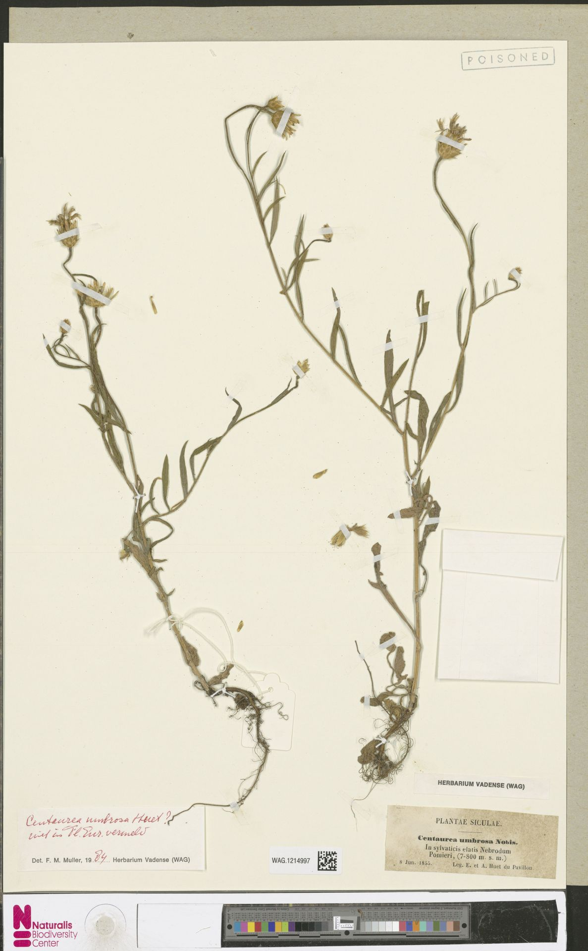 WAG.1214997 | Centaurea umbrosa A.Huet ex Reut.