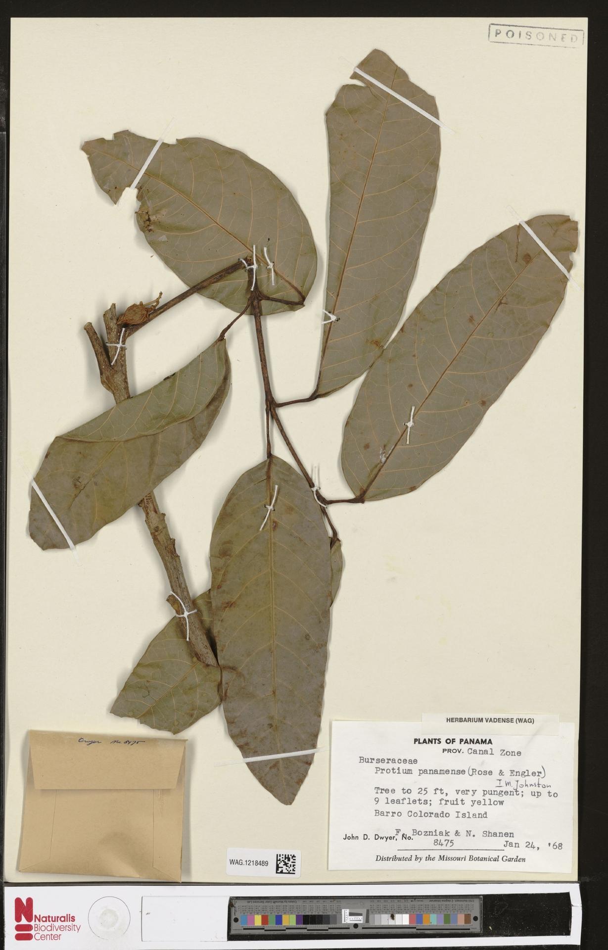 WAG.1218489 | Protium panamense I.M.Johnst.