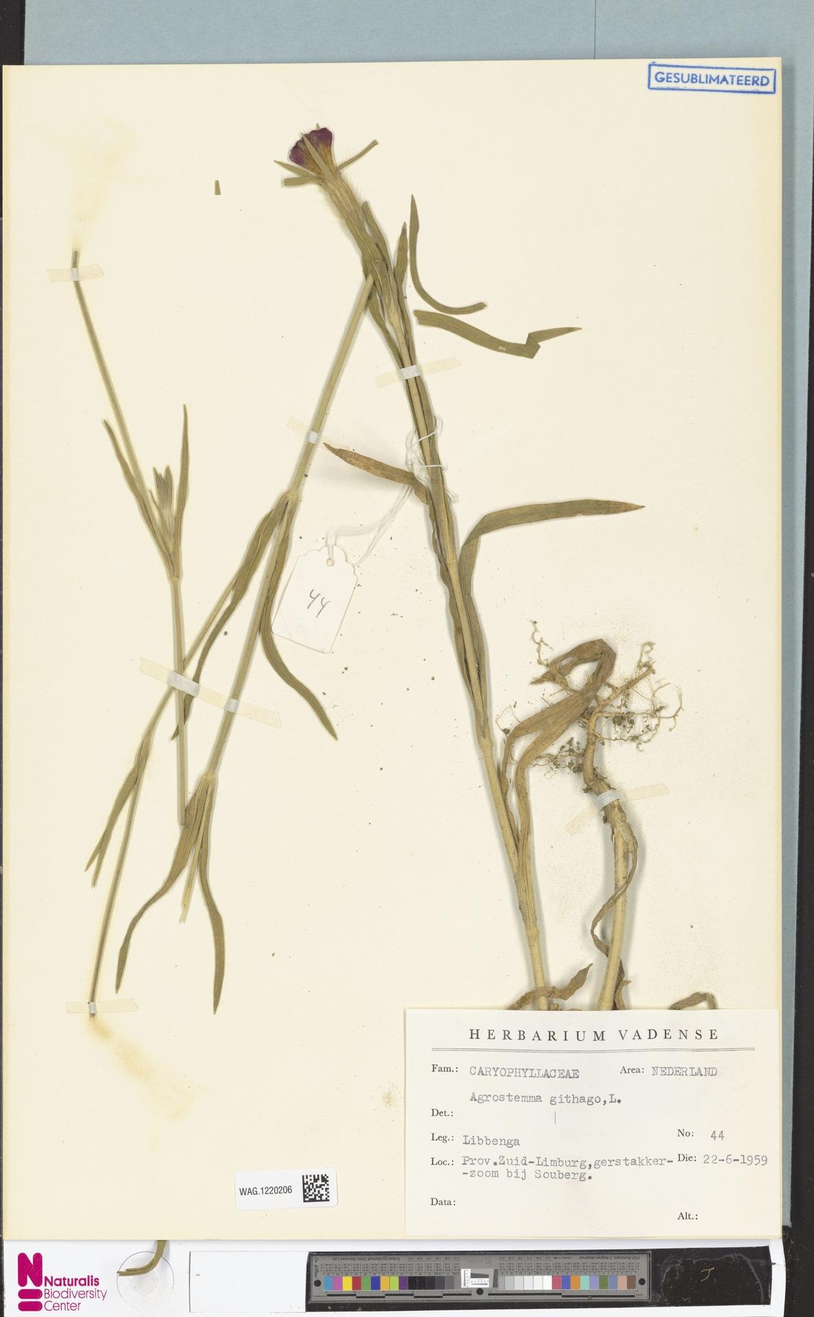 WAG.1220206 | Agrostemma githago L.