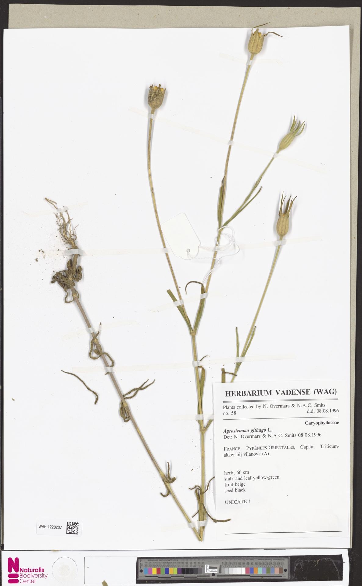 WAG.1220207 | Agrostemma githago L.