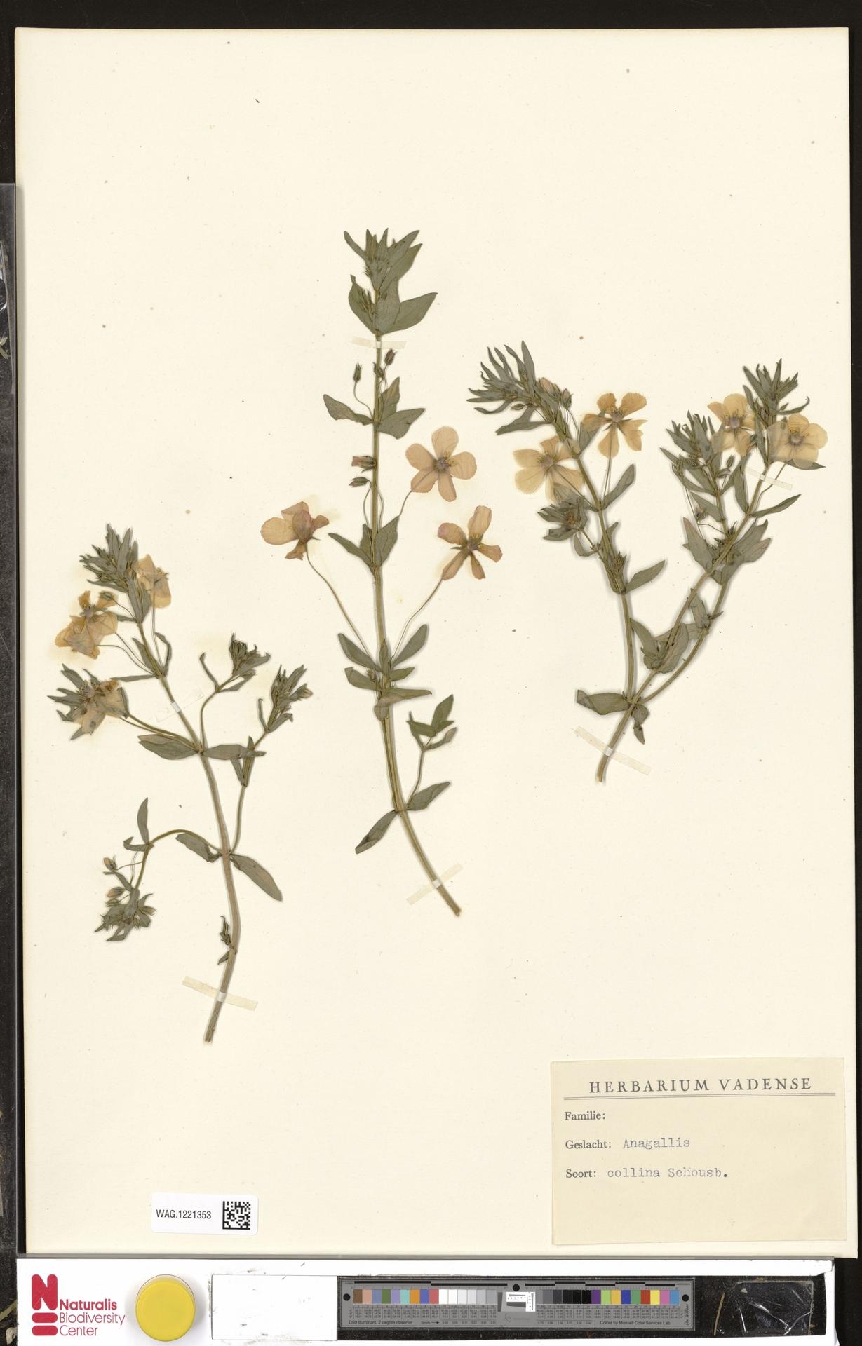 WAG.1221353   Anagallis monelli L.