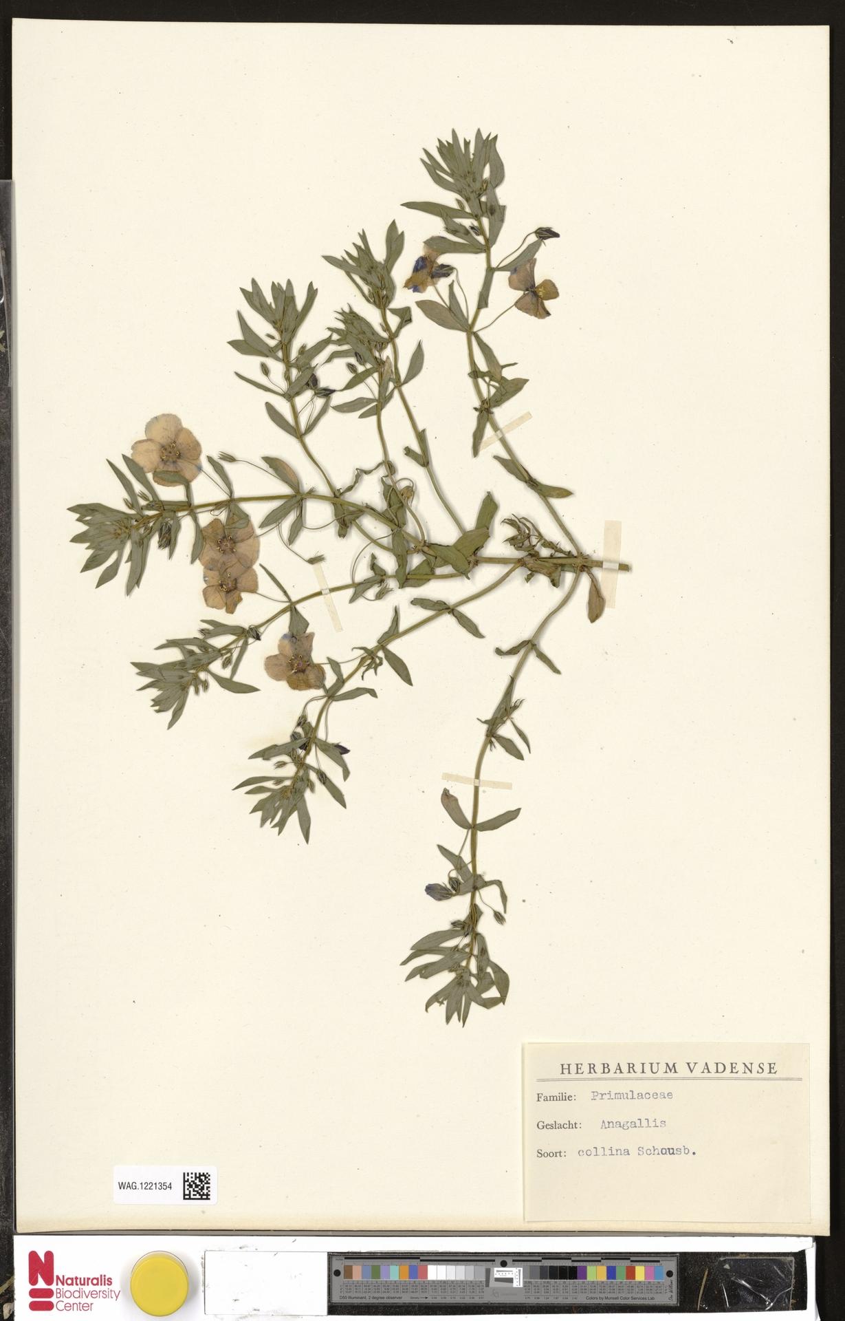 WAG.1221354 | Anagallis monelli L.