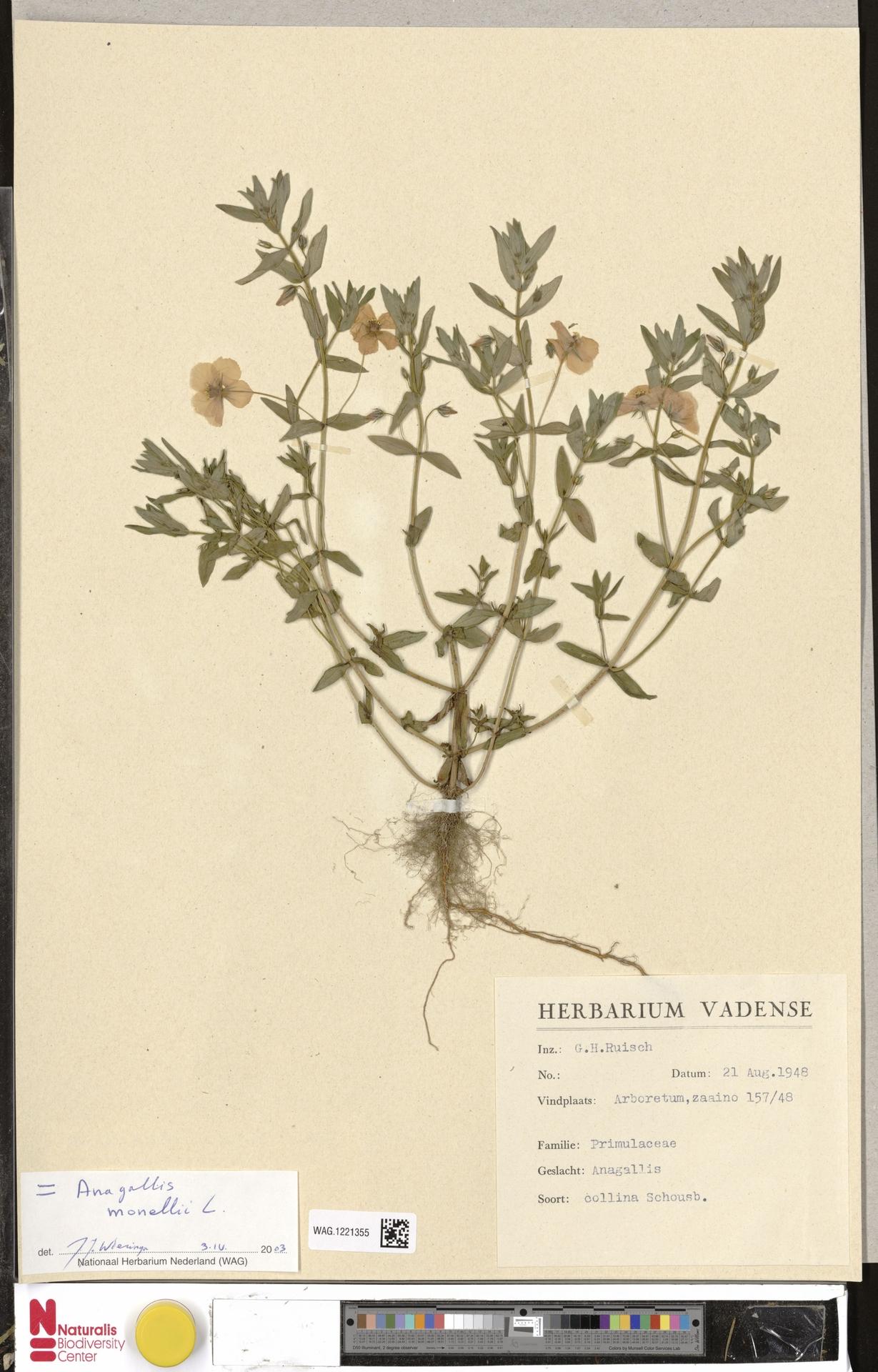WAG.1221355 | Anagallis monelli L.