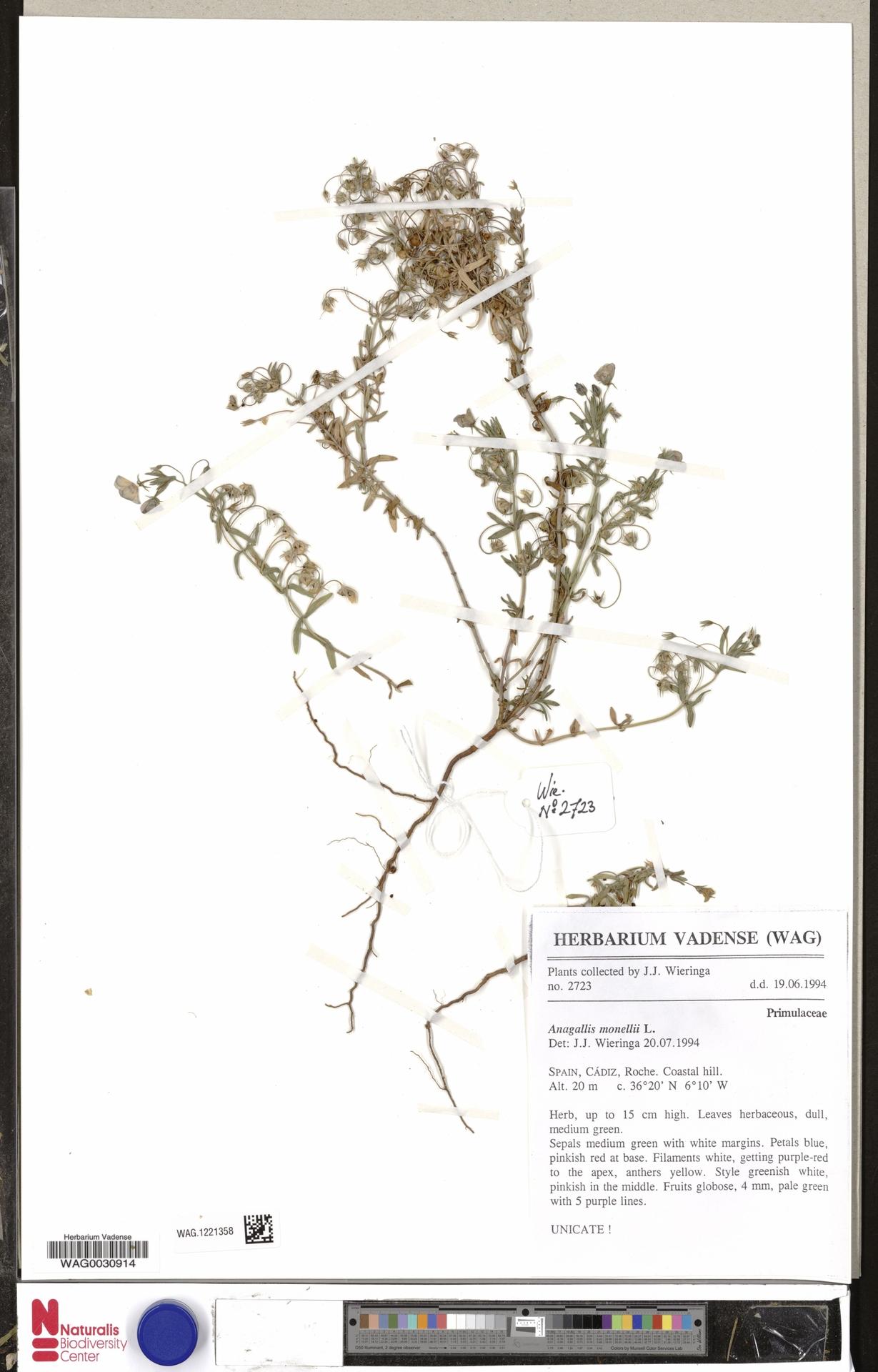 WAG.1221358 | Anagallis monelli L.