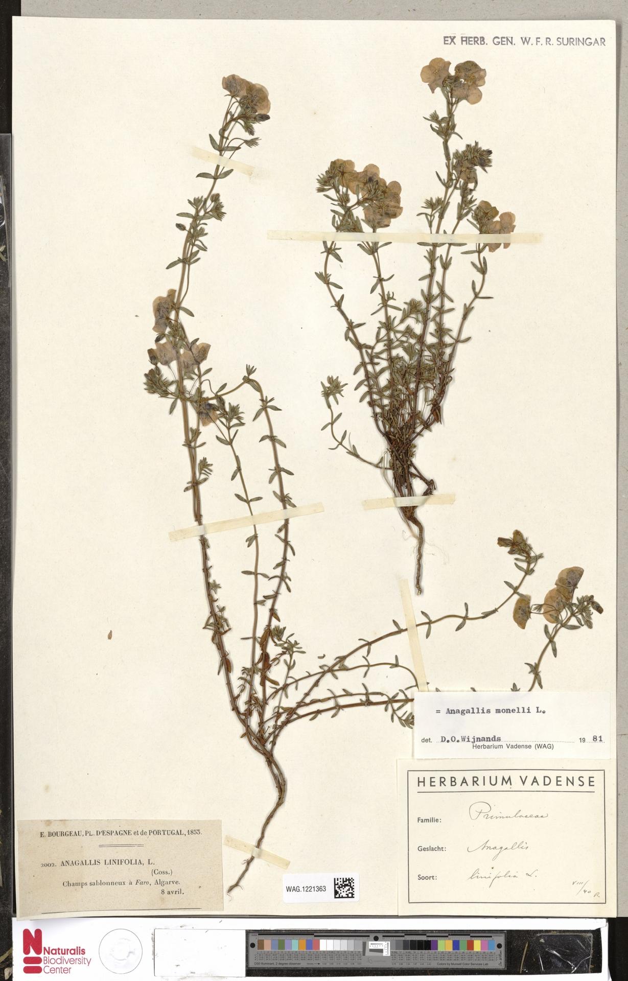 WAG.1221363 | Anagallis monelli L.