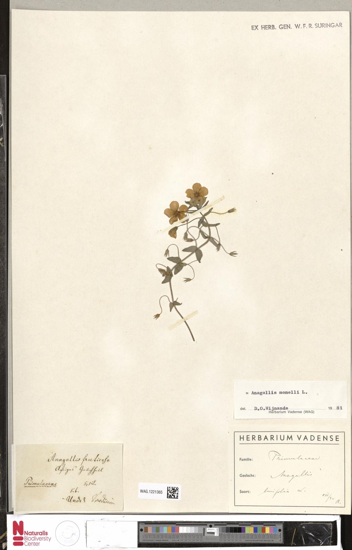 WAG.1221365 | Anagallis monelli L.