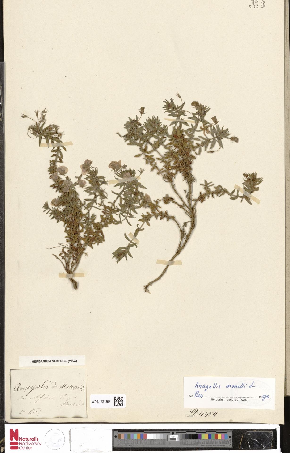 WAG.1221367 | Anagallis monelli L.