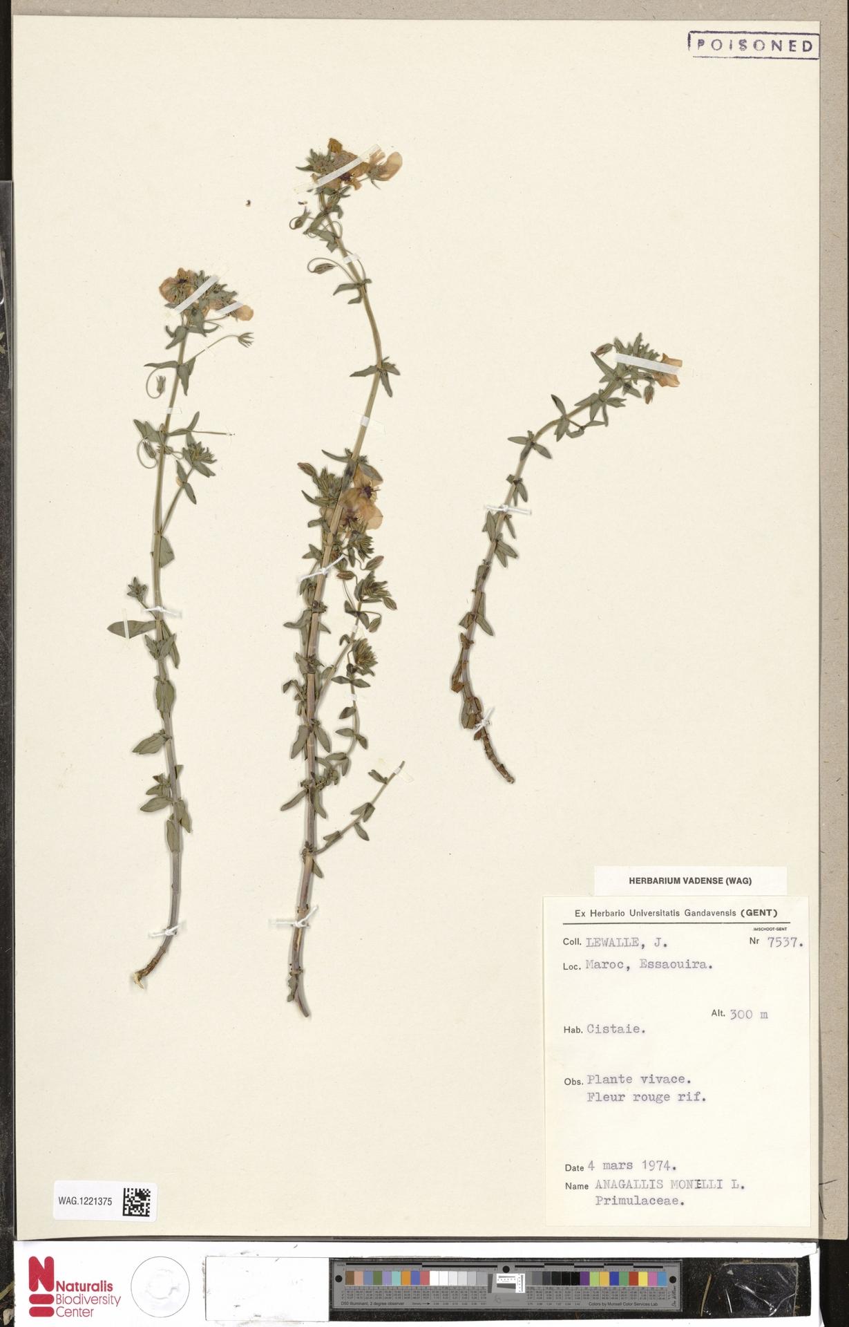WAG.1221375   Anagallis monelli L.