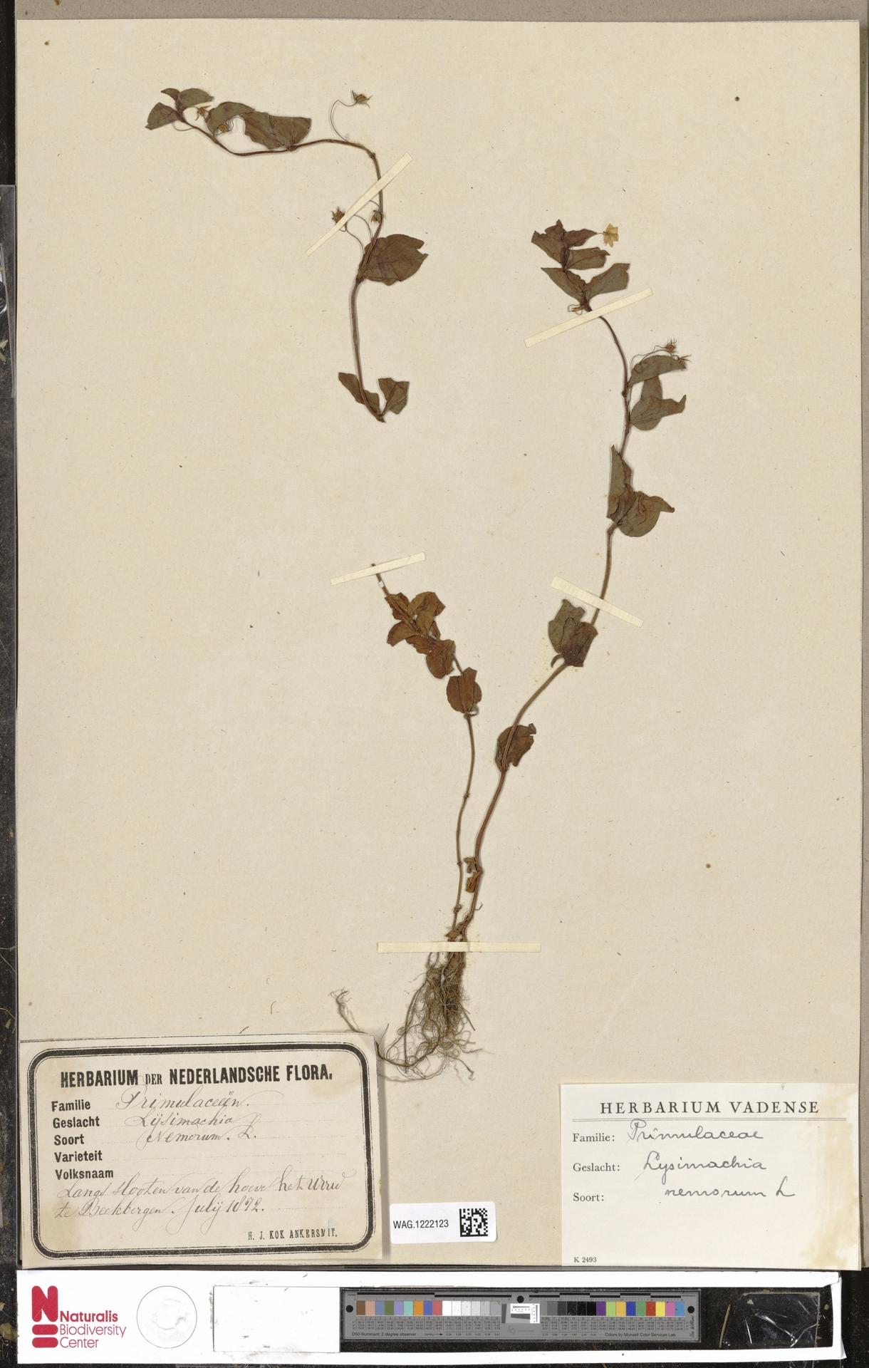 WAG.1222123 | Lysimachia nemorum L.