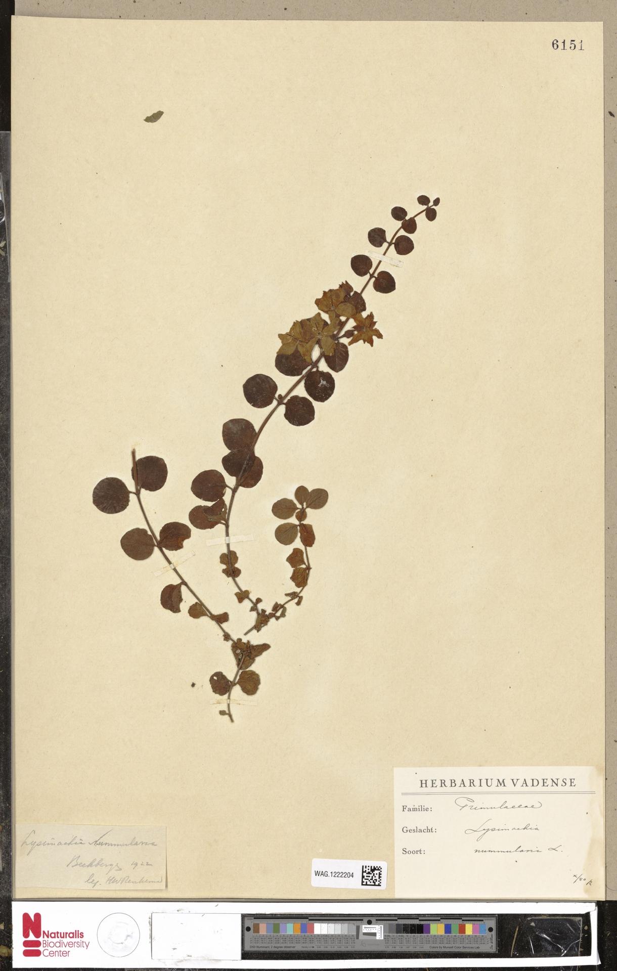 WAG.1222204 | Lysimachia nummularia L.