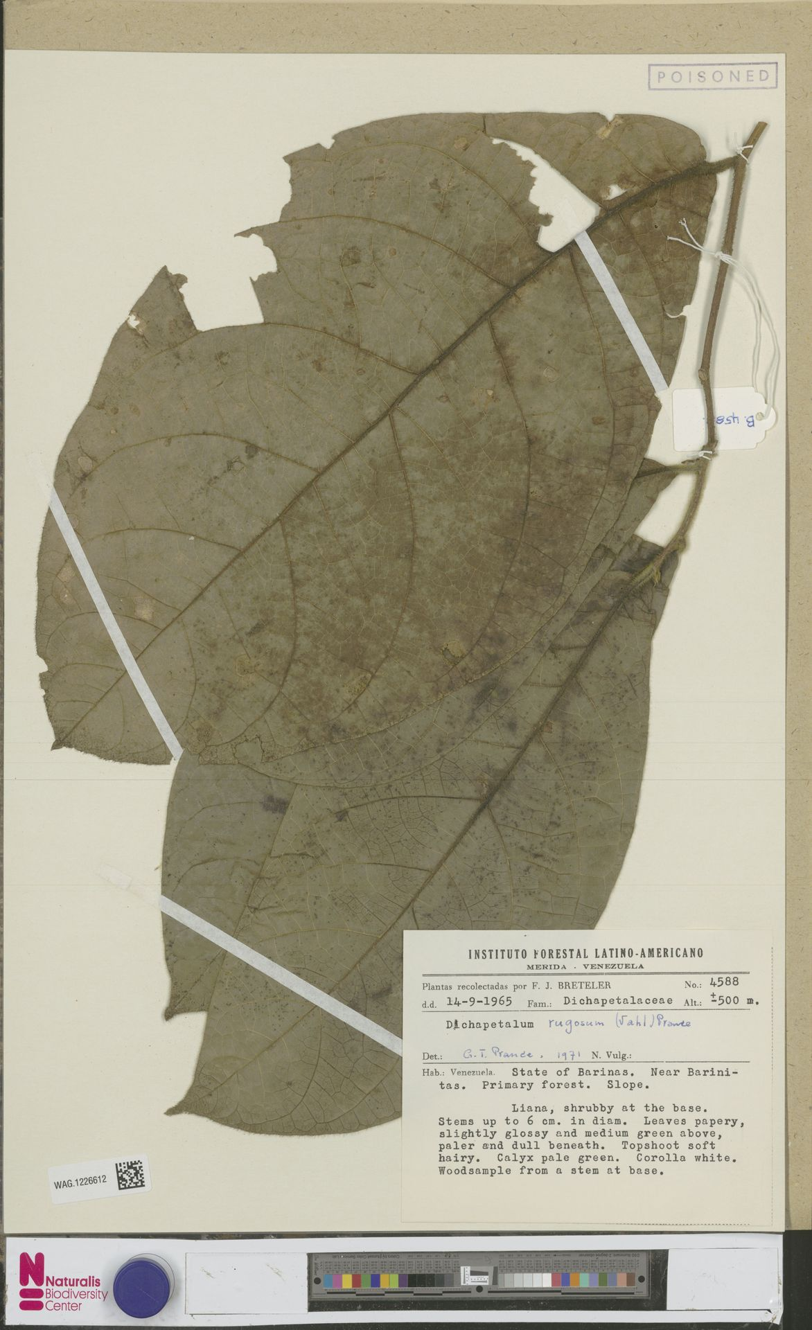 WAG.1226612 | Dichapetalum rugosum (Vahl) Prance