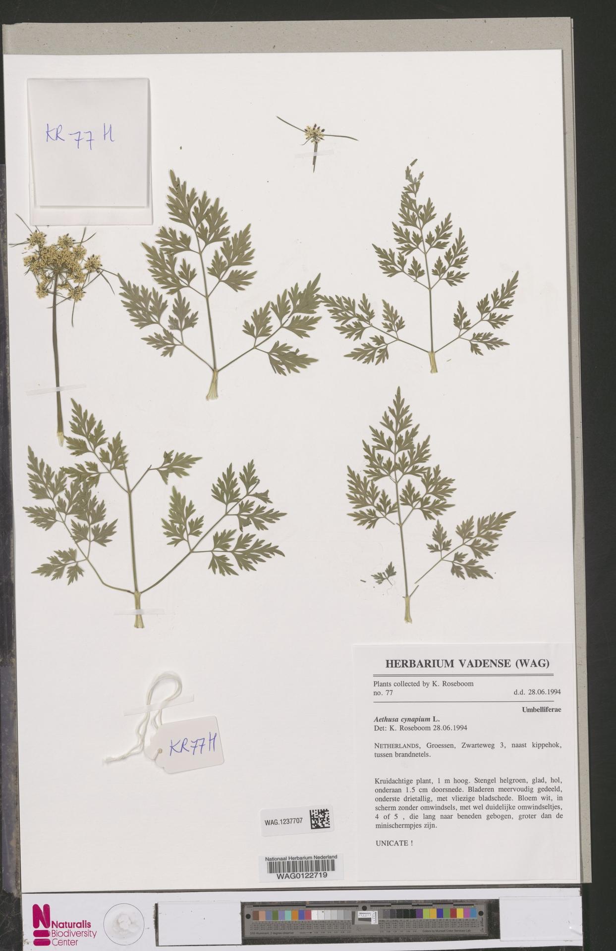 WAG.1237707 | Aethusa cynapium L.