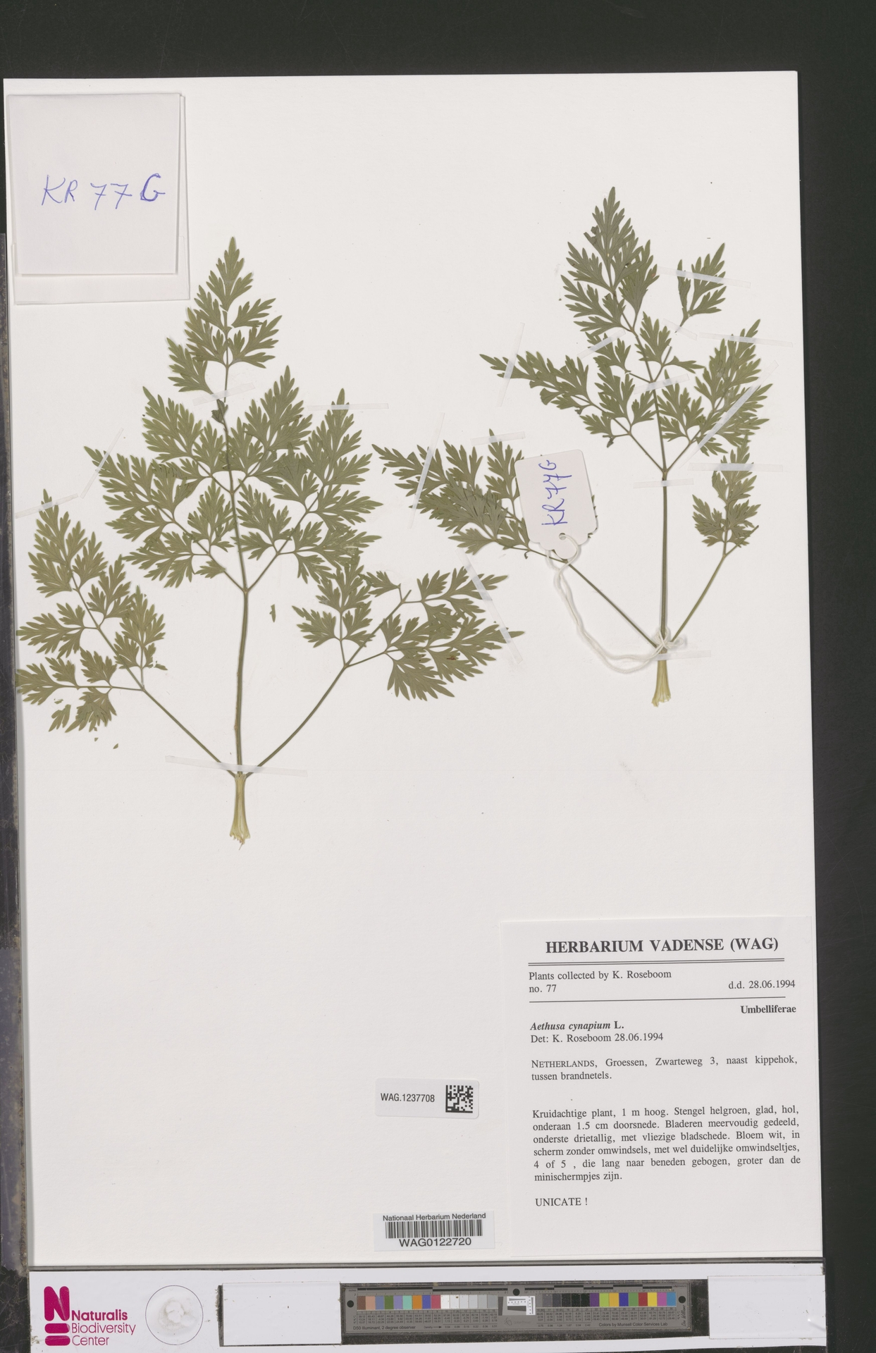 WAG.1237708 | Aethusa cynapium L.