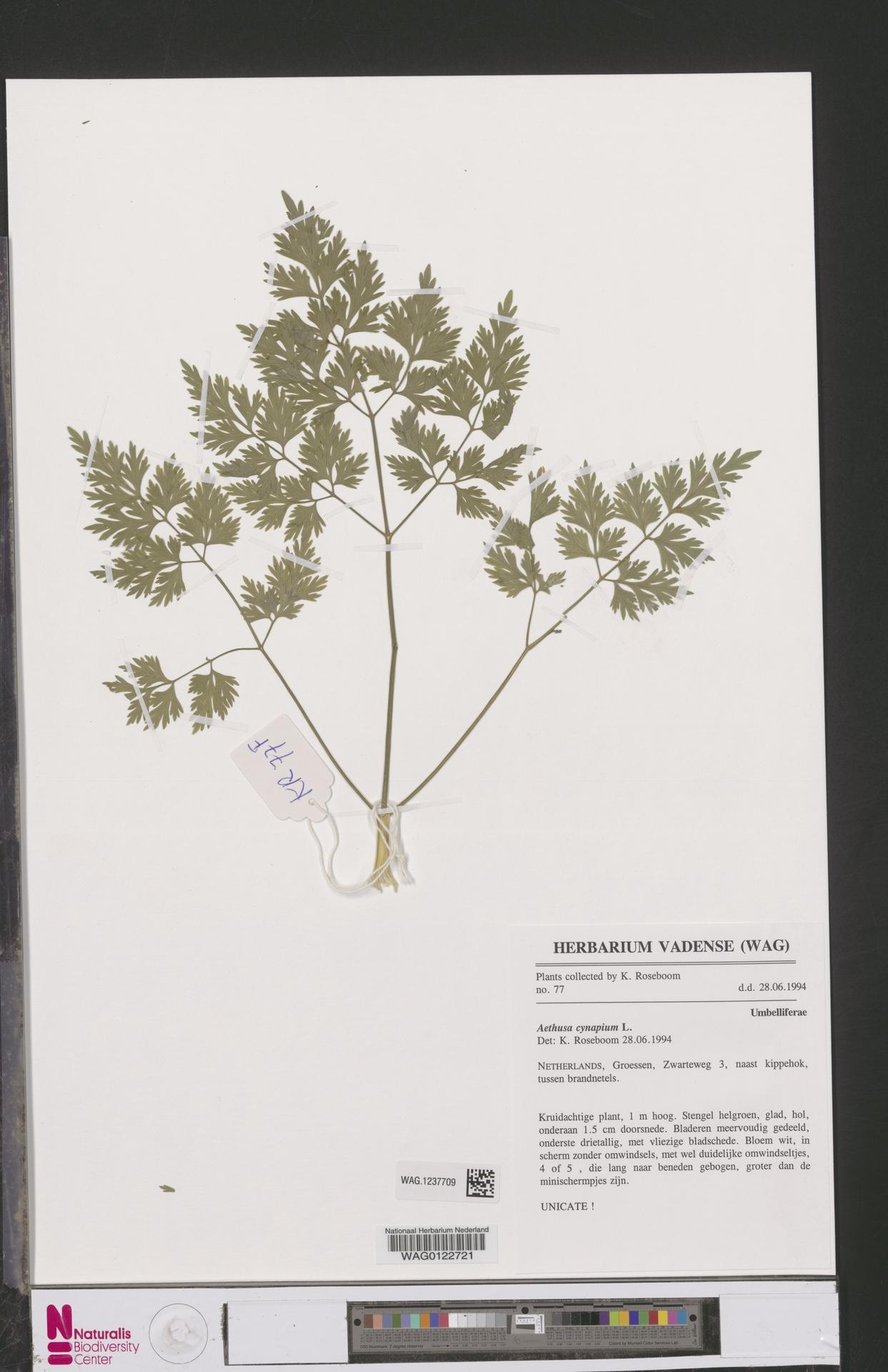 WAG.1237709 | Aethusa cynapium L.