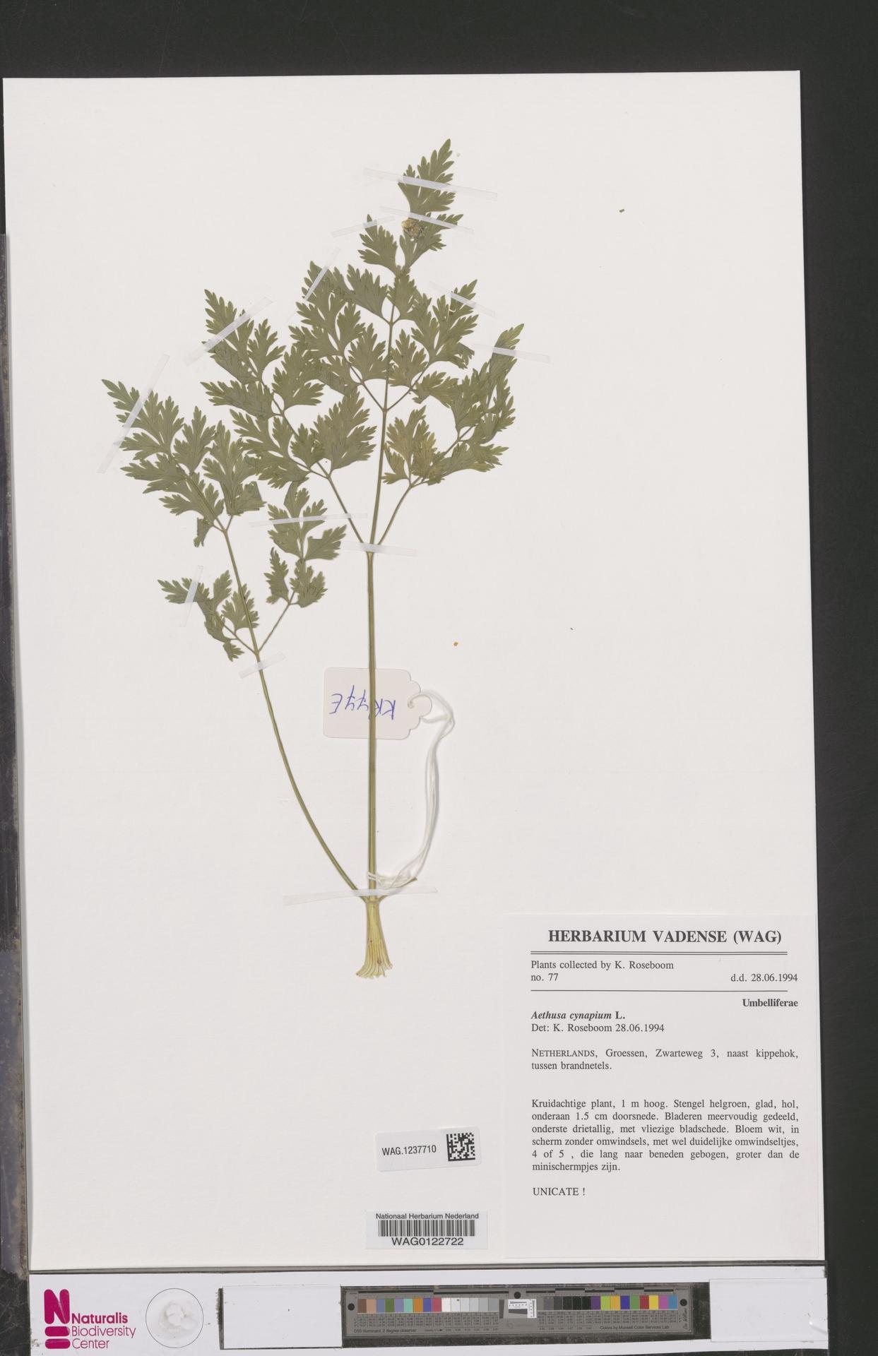 WAG.1237710 | Aethusa cynapium L.