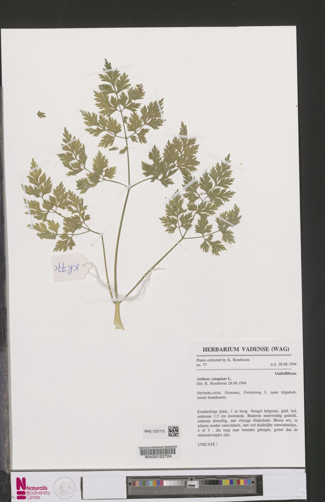 WAG.1237712 | Aethusa cynapium L.
