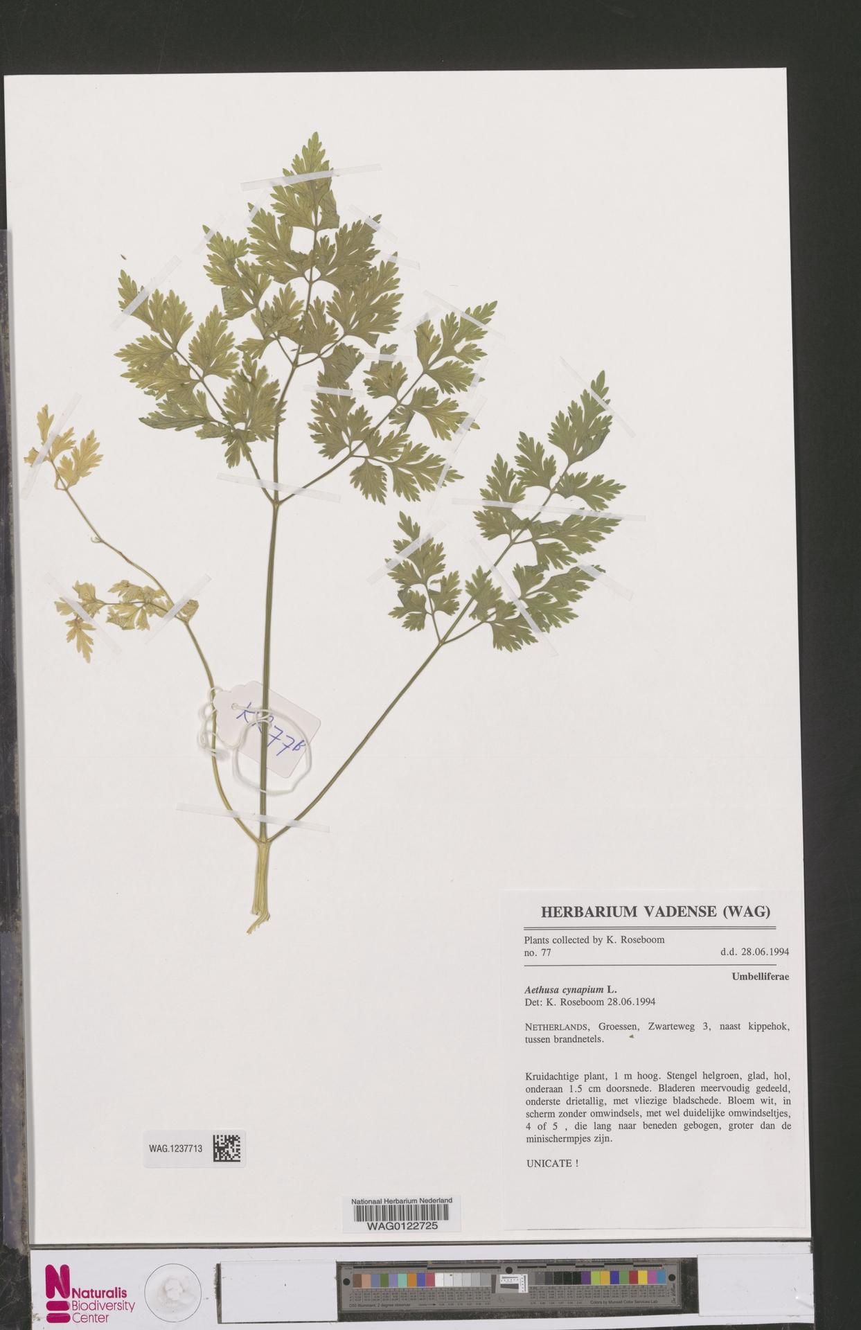 WAG.1237713 | Aethusa cynapium L.