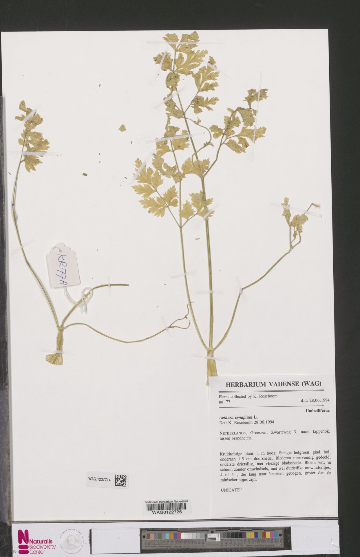 WAG.1237714   Aethusa cynapium L.