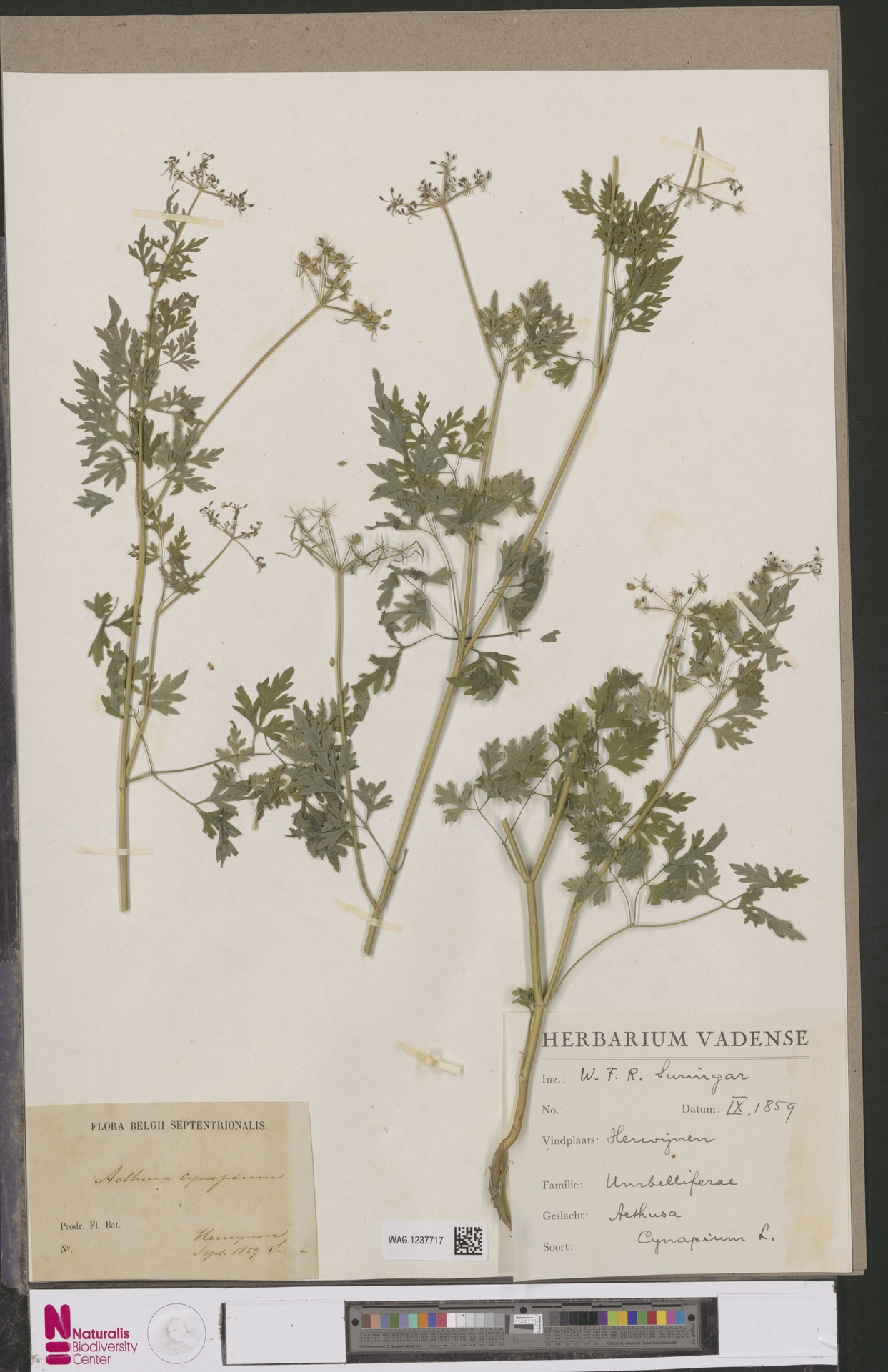 WAG.1237717 | Aethusa cynapium L.