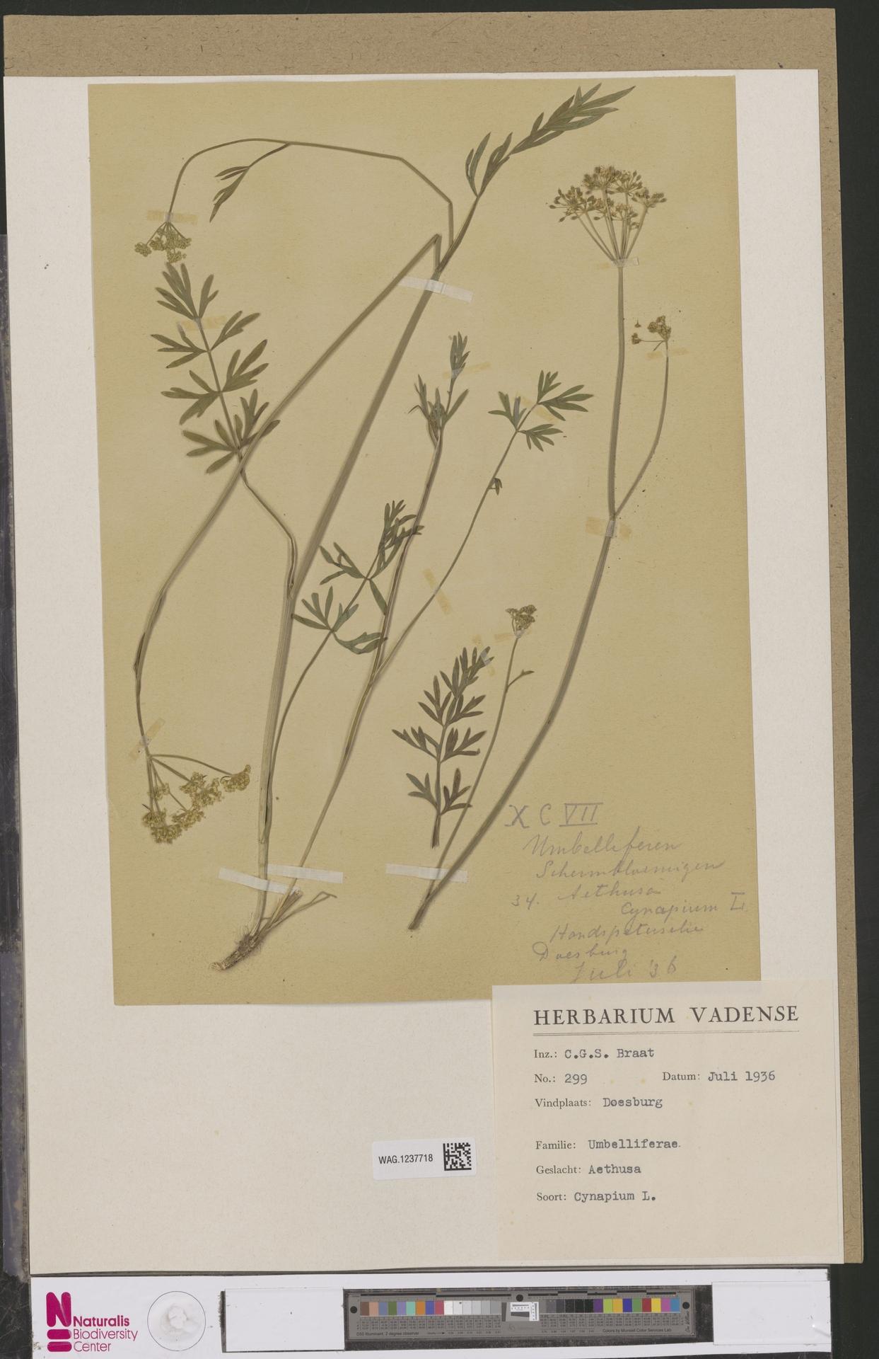 WAG.1237718 | Aethusa cynapium L.