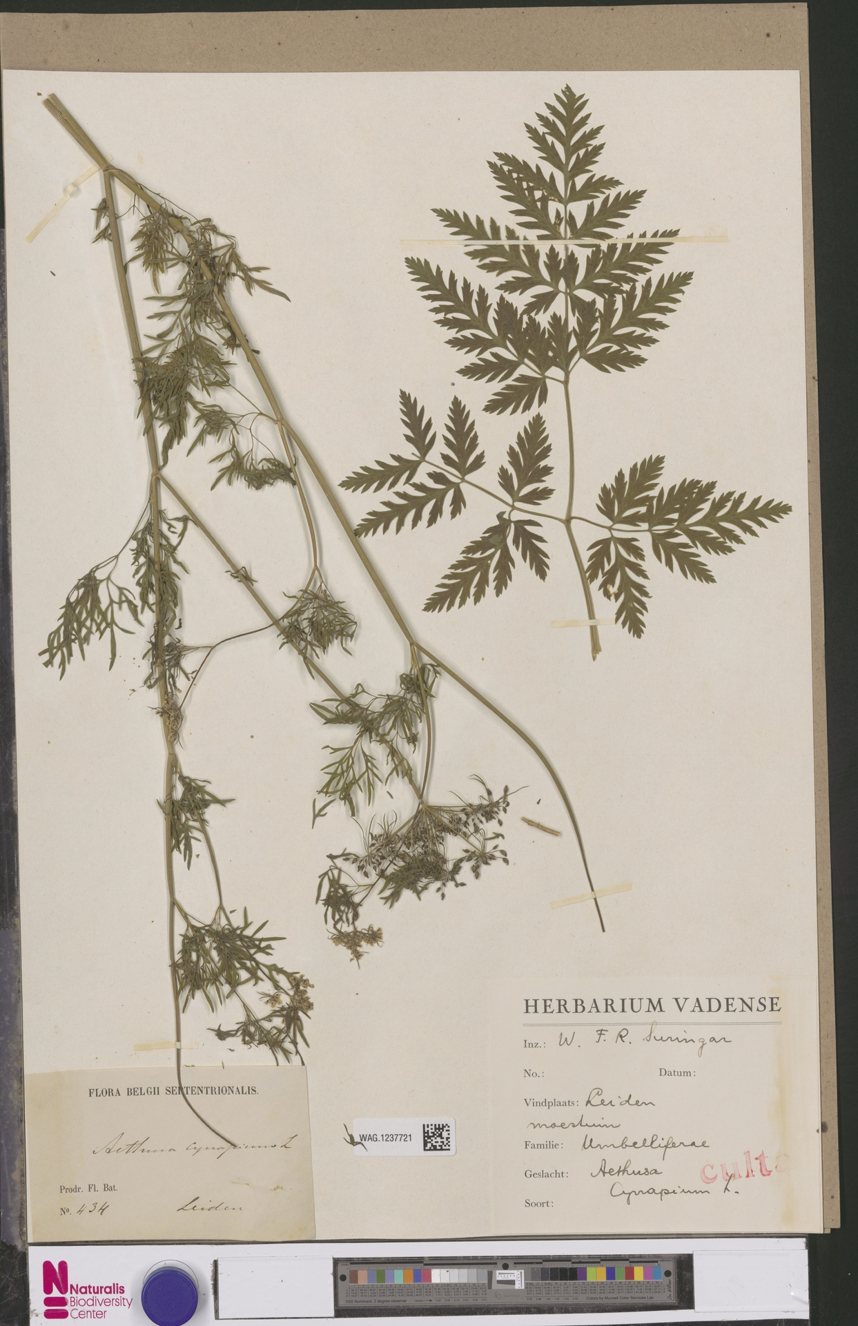 WAG.1237721   Aethusa cynapium L.