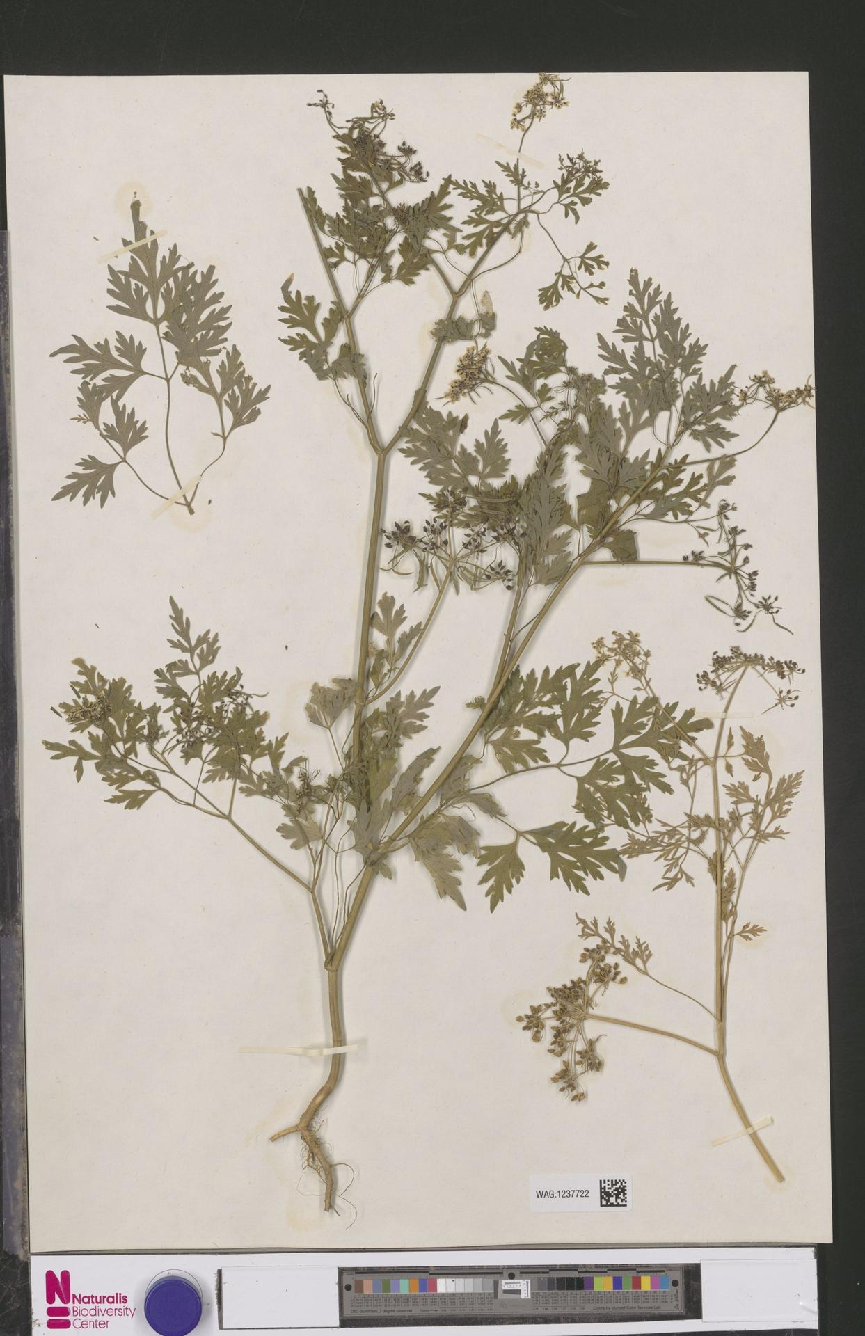 WAG.1237722 | Aethusa cynapium L.