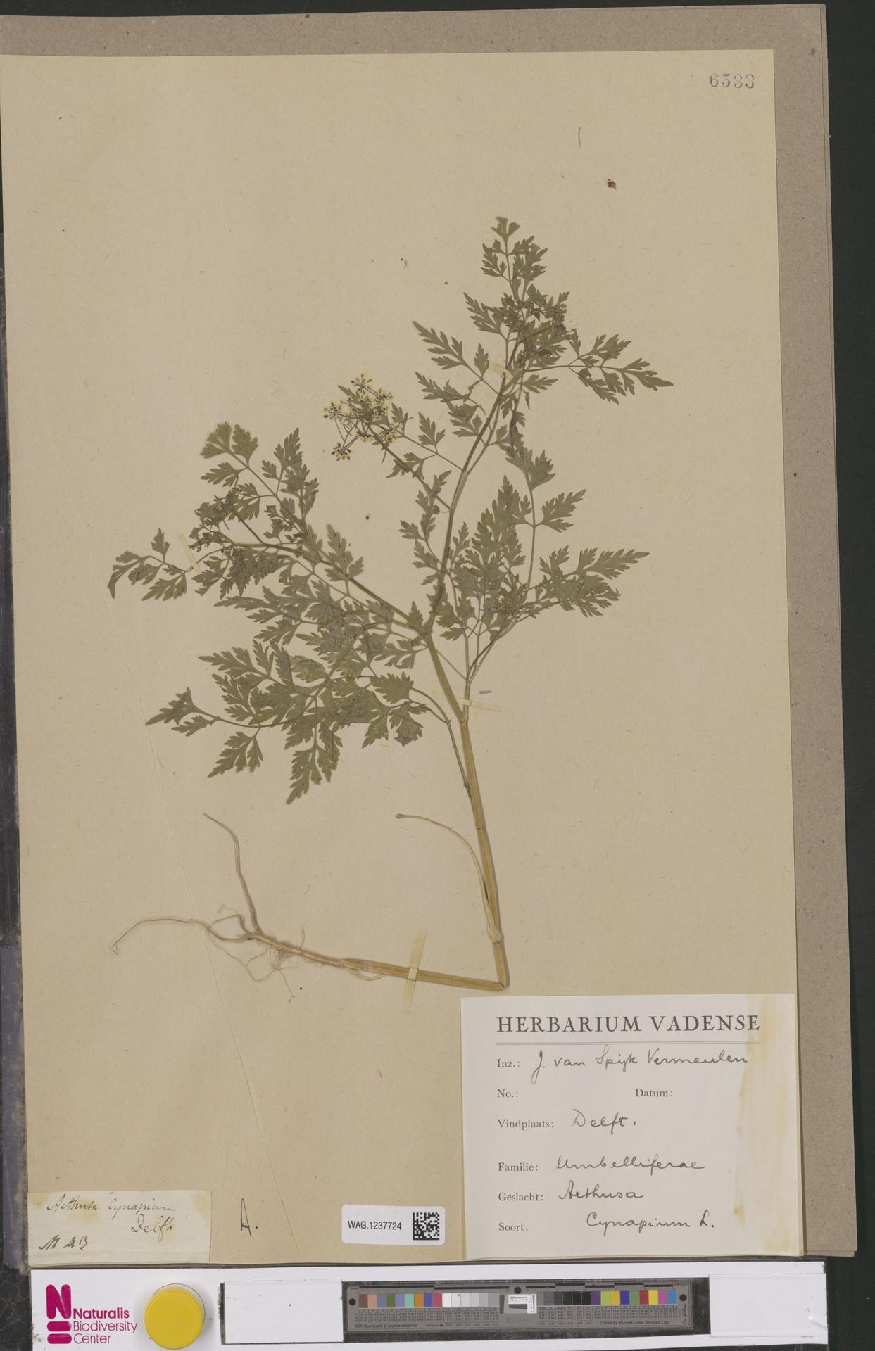 WAG.1237724 | Aethusa cynapium L.