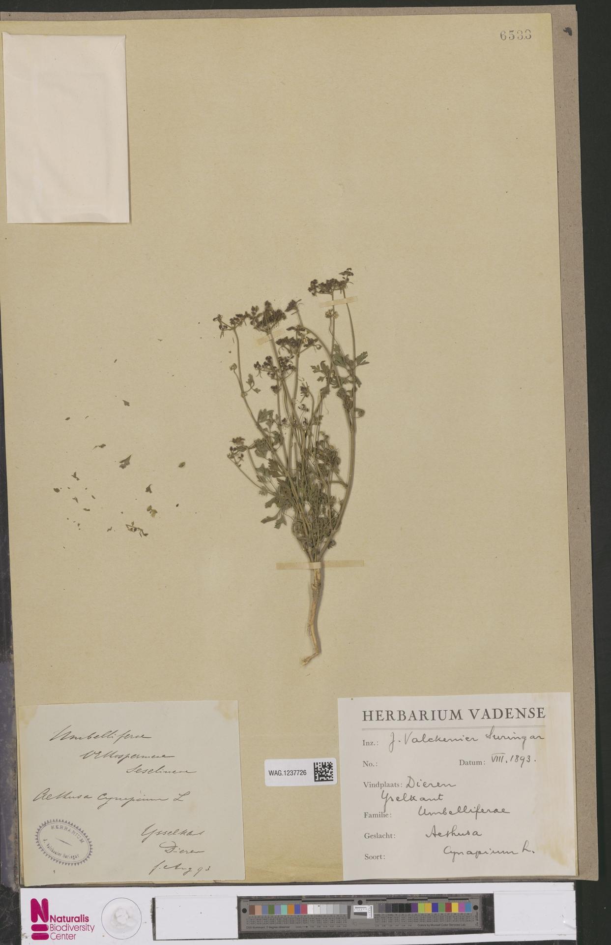 WAG.1237726 | Aethusa cynapium L.