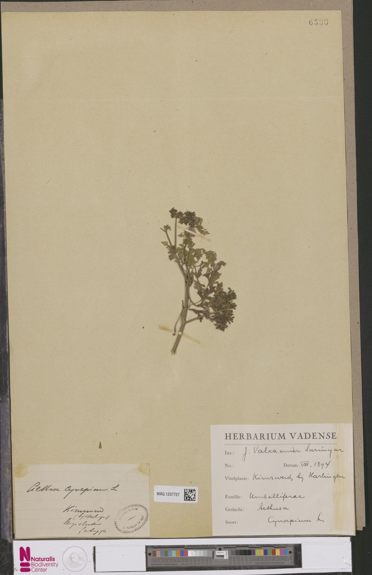 WAG.1237727 | Aethusa cynapium L.