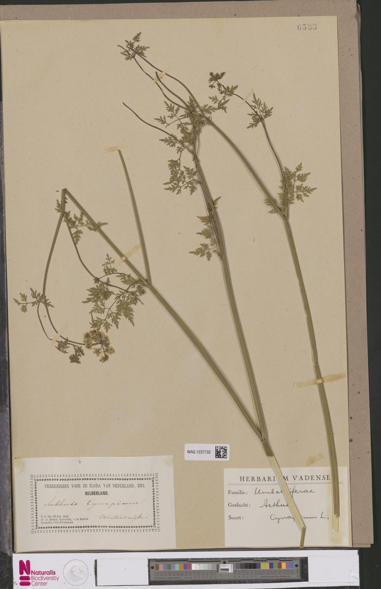 WAG.1237732 | Aethusa cynapium L.