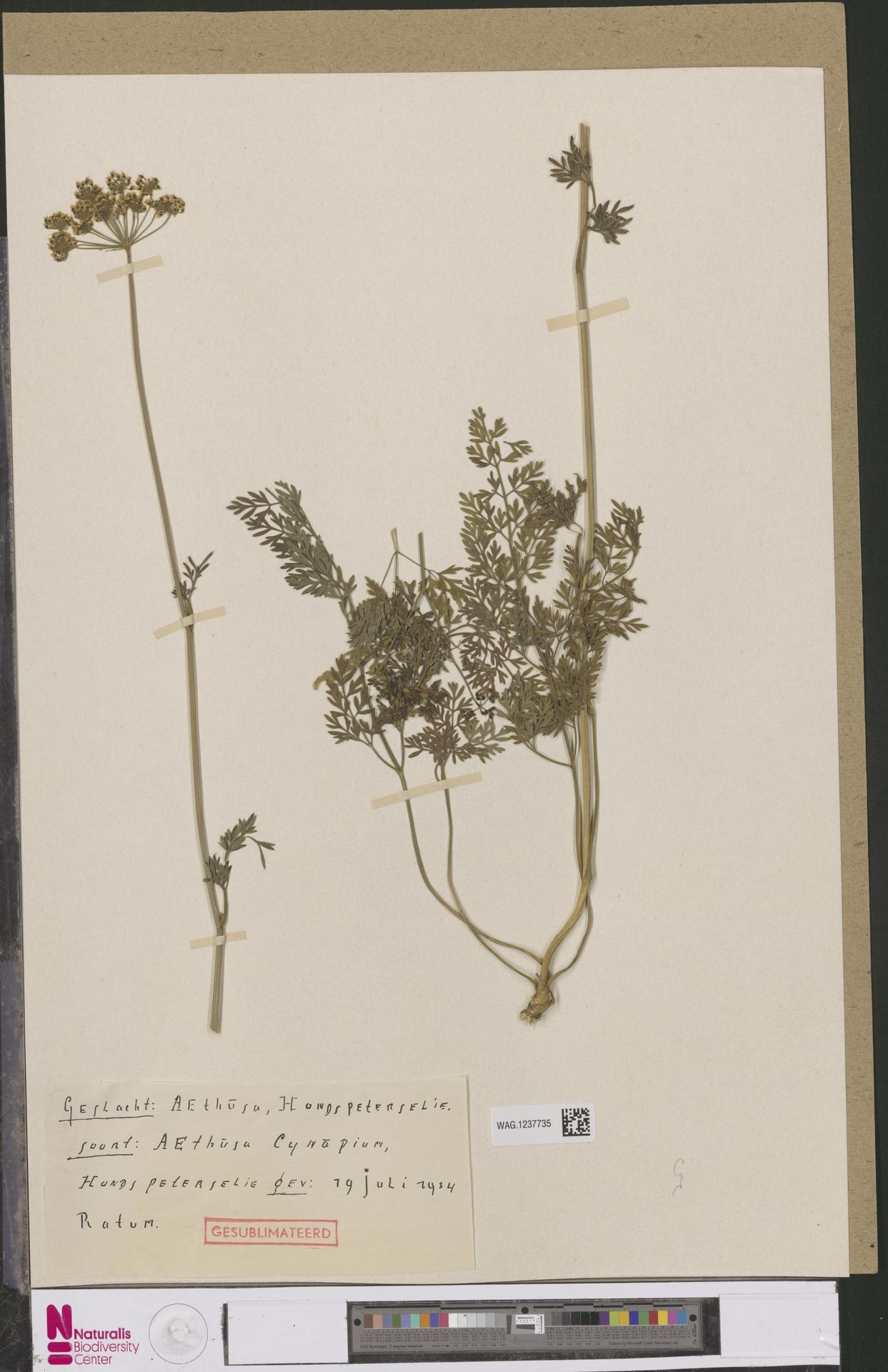 WAG.1237735 | Aethusa cynapium L.