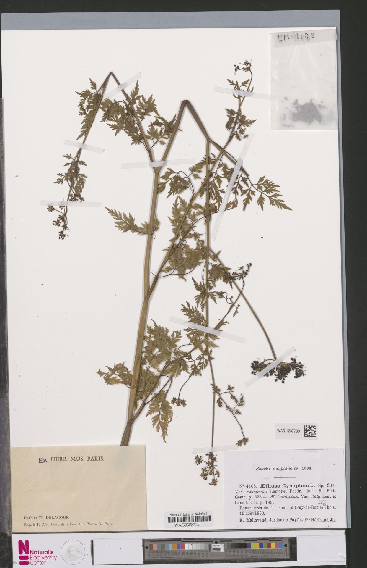 WAG.1237739 | Aethusa cynapium L.