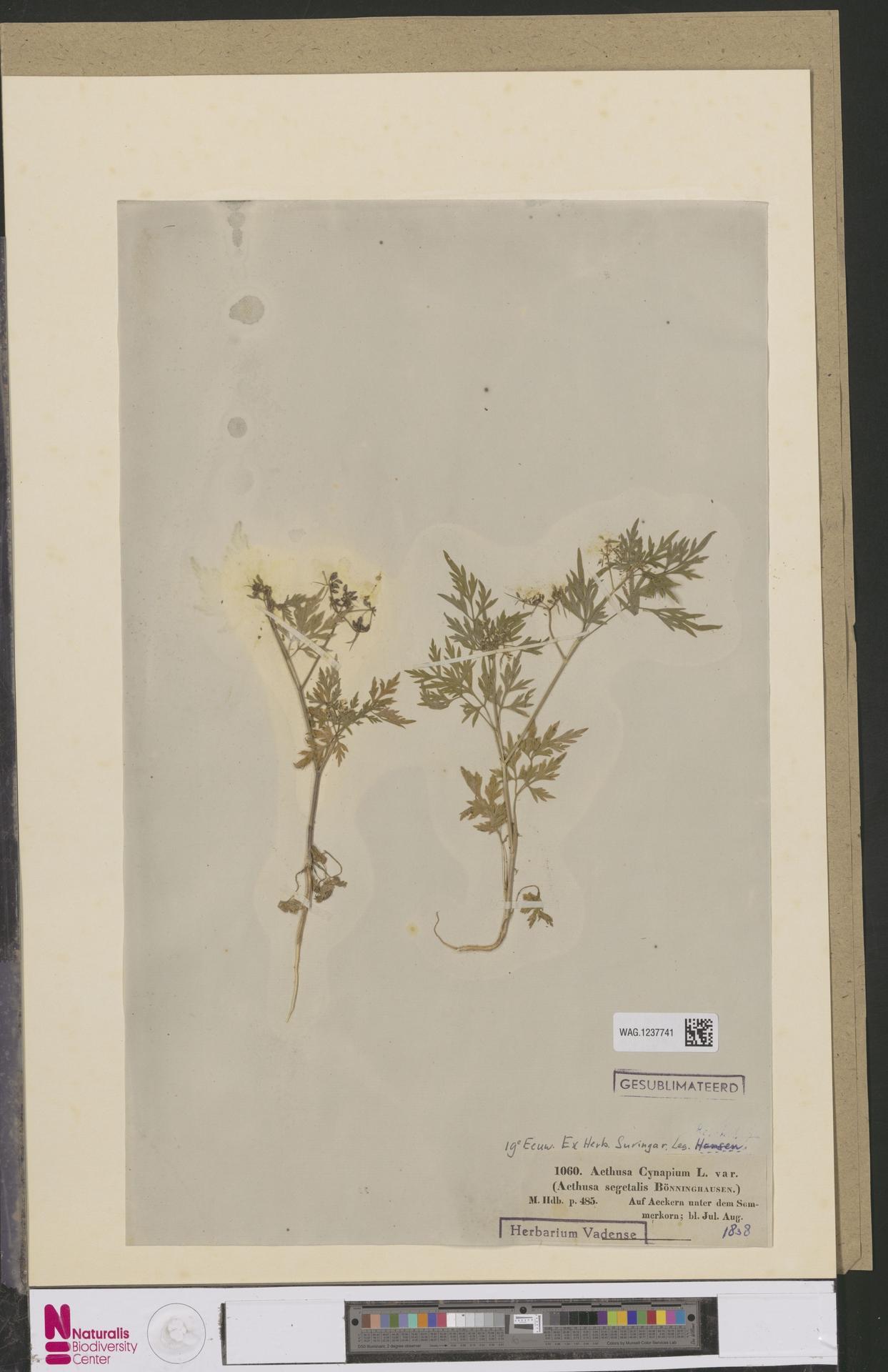 WAG.1237741 | Aethusa cynapium L.