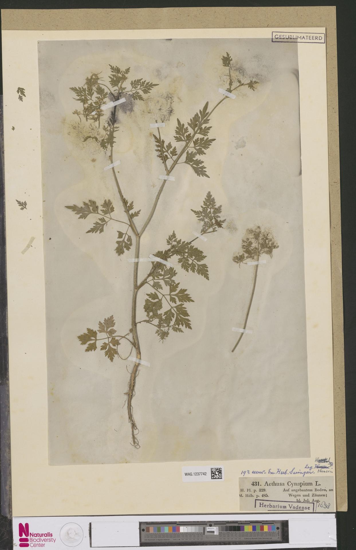 WAG.1237742 | Aethusa cynapium L.