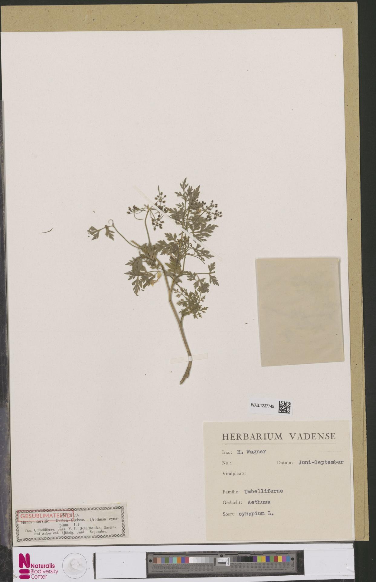 WAG.1237745 | Aethusa cynapium L.