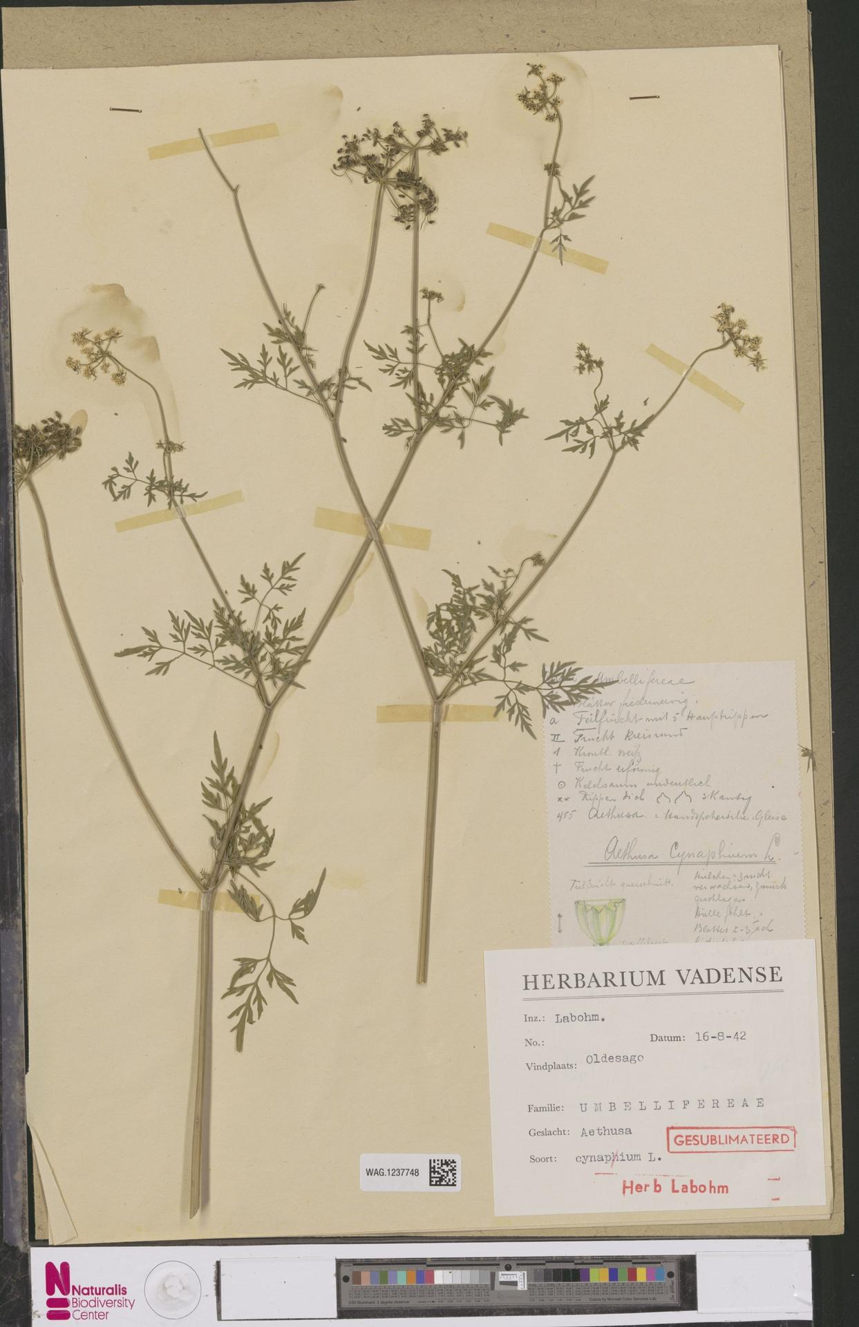 WAG.1237748 | Aethusa cynapium L.