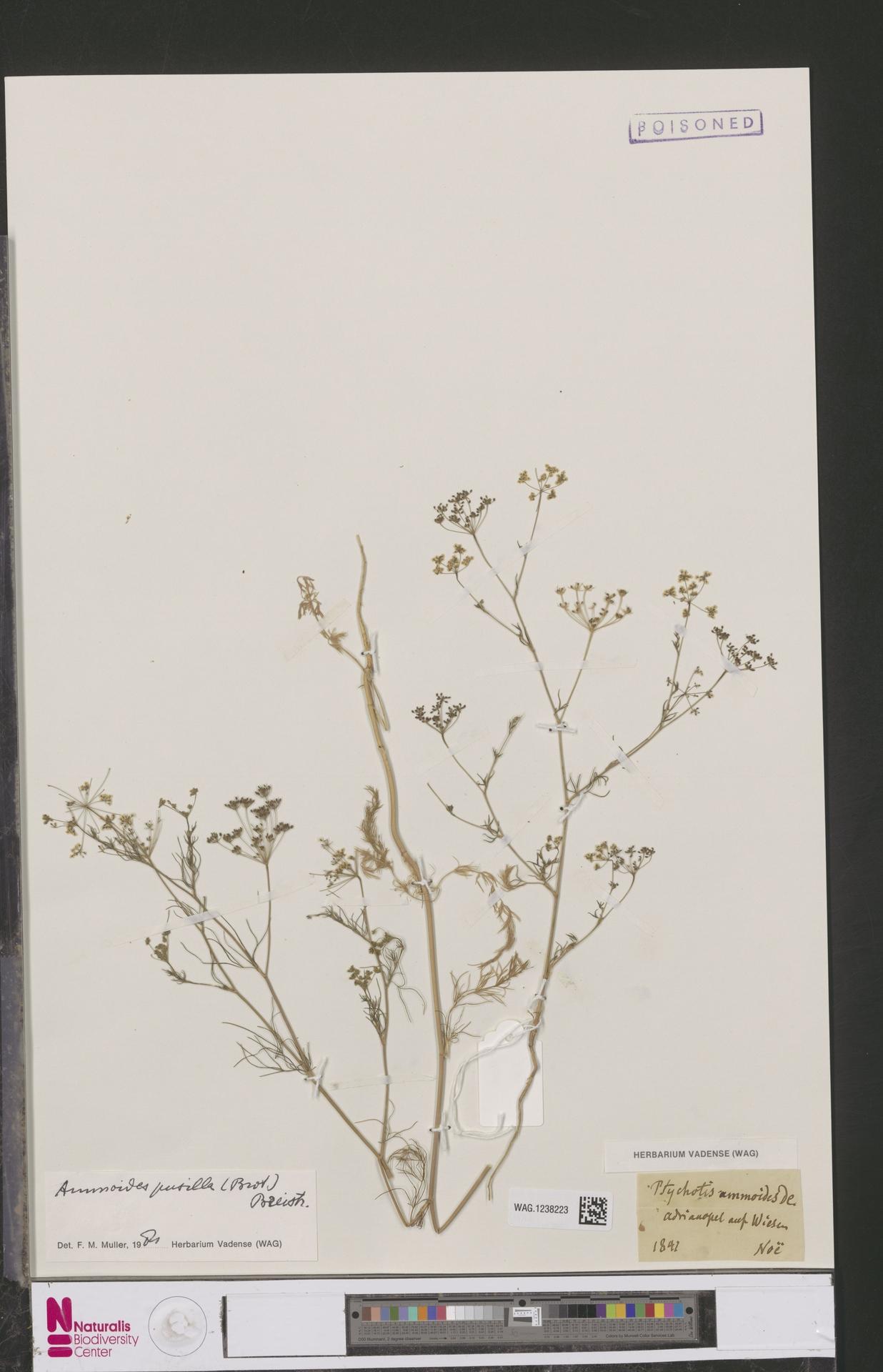 WAG.1238223   Ammoides pusilla (Brot.) Breistr.