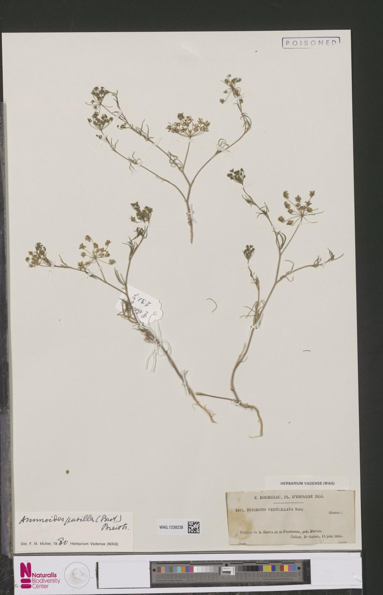 WAG.1238238   Ammoides pusilla (Brot.) Breistr.