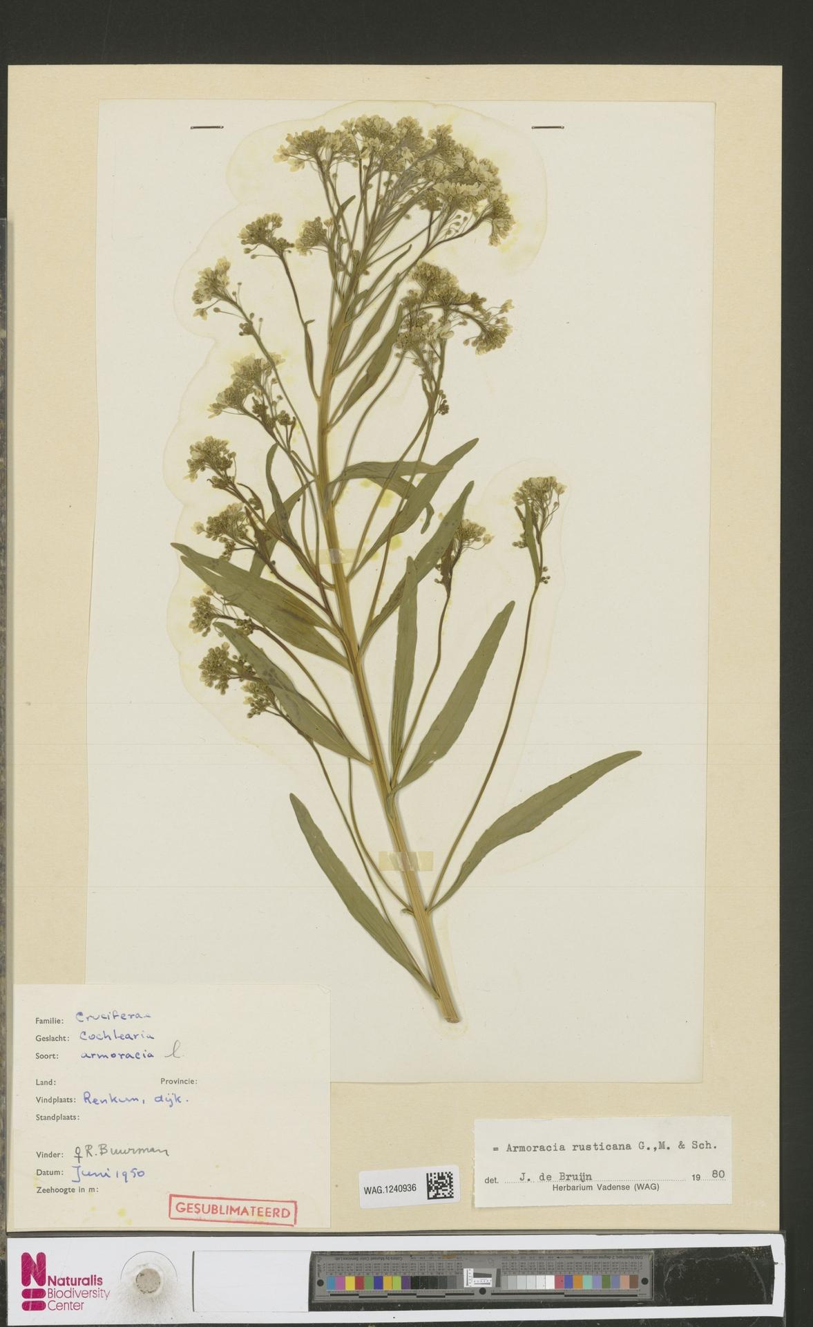 WAG.1240936 | Armoracia rusticana G.Gaertn., B.Mey. & Schreb.