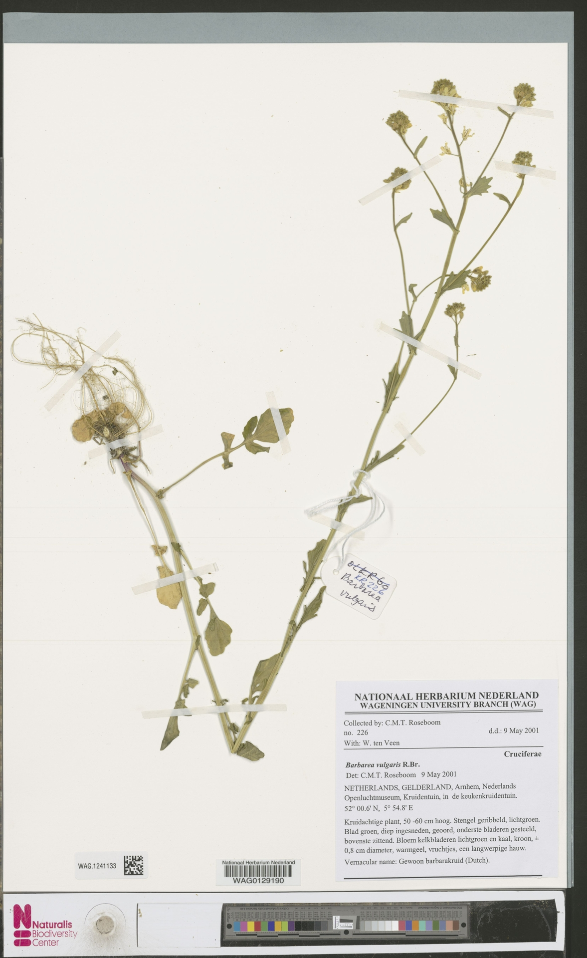 WAG.1241133 | Barbarea vulgaris R.Br.