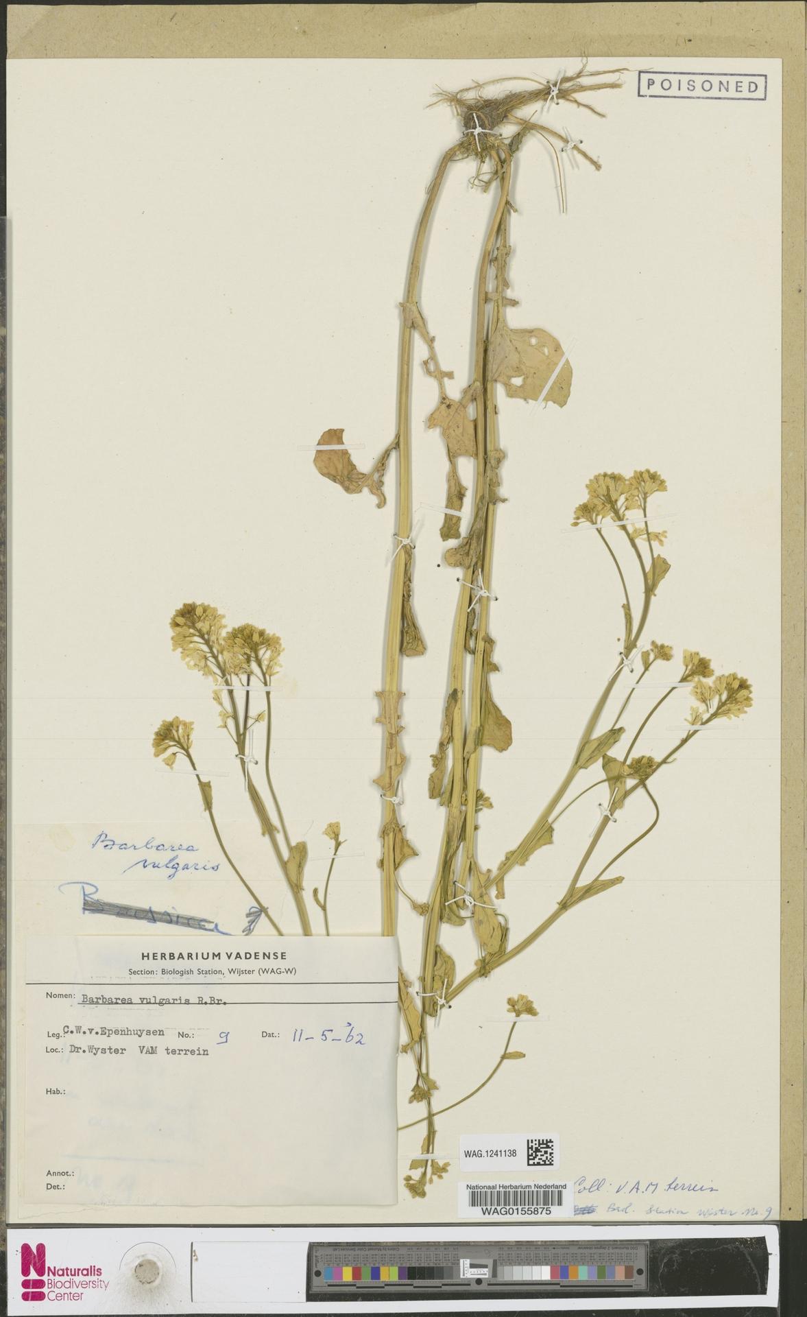 WAG.1241138 | Barbarea vulgaris R.Br.