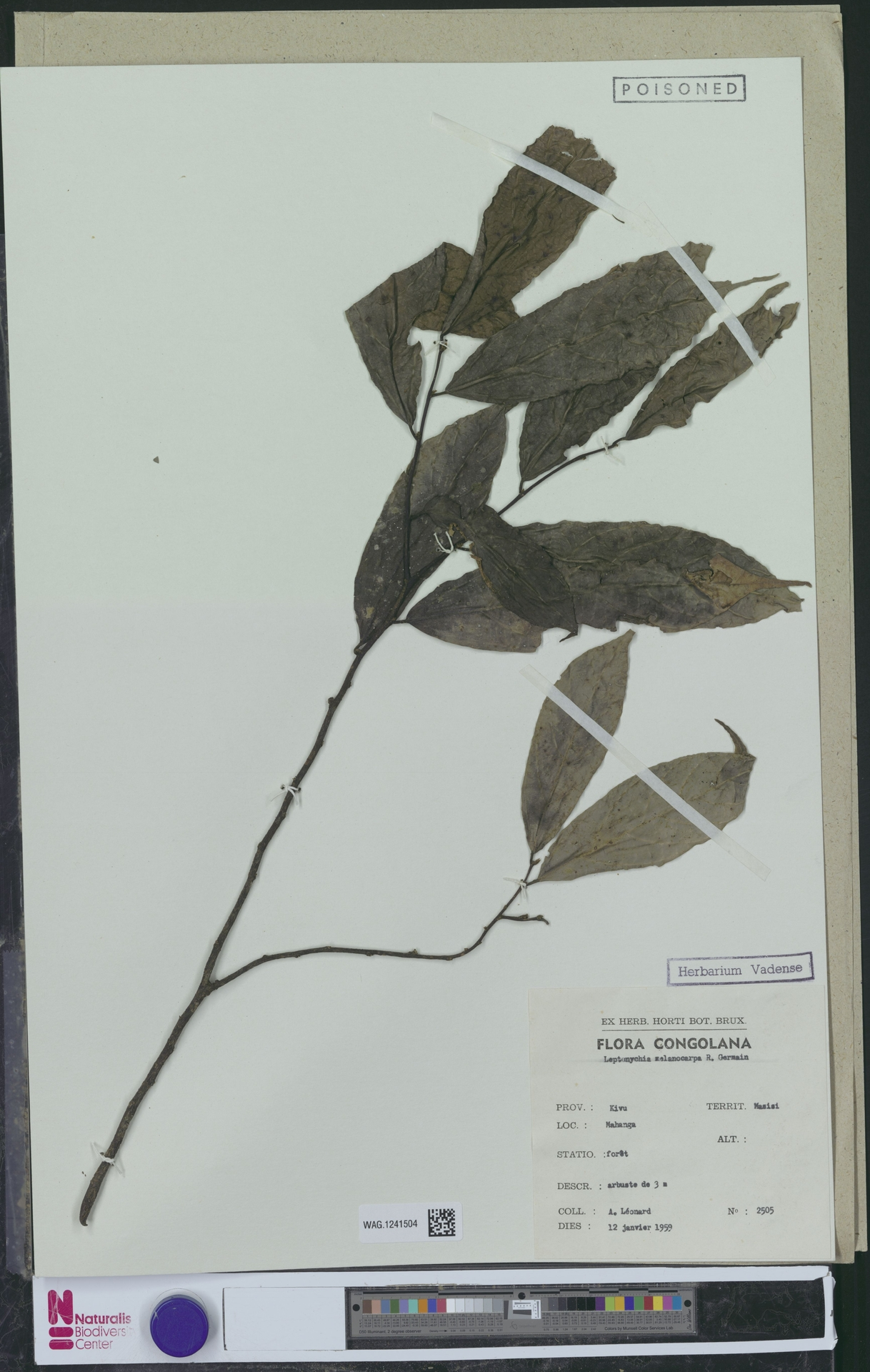 WAG.1241504 | Leptonychia melanocarpa R.Germ.