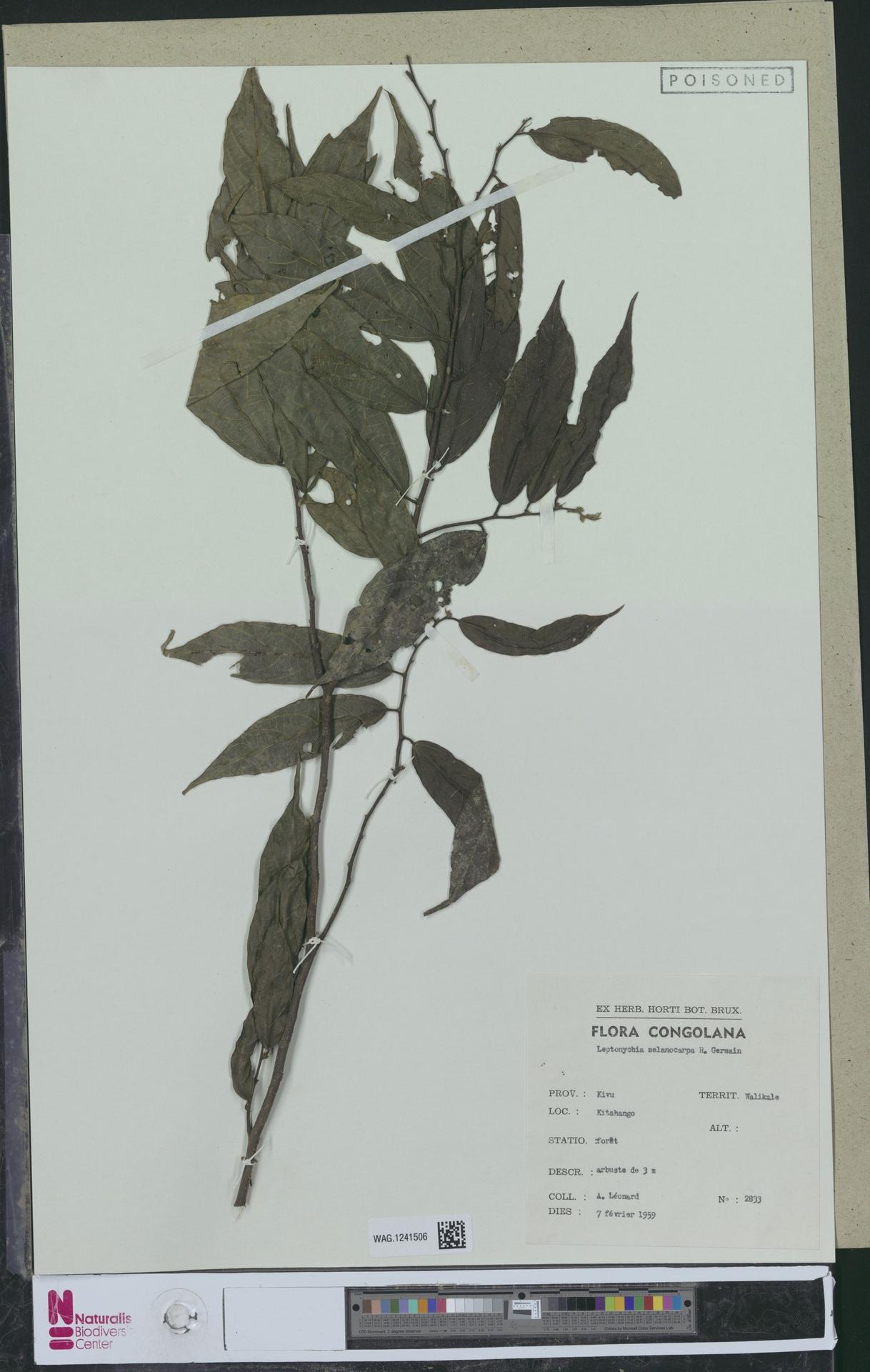WAG.1241506 | Leptonychia melanocarpa R.Germ.