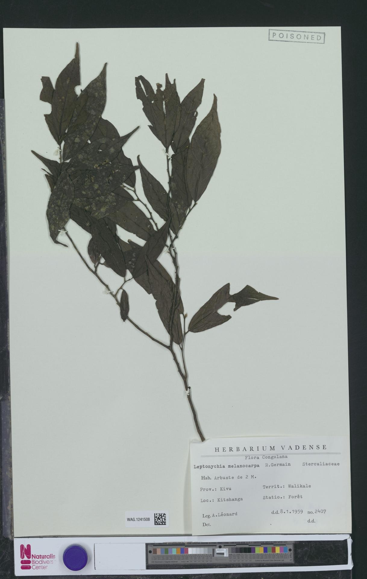 WAG.1241508 | Leptonychia melanocarpa R.Germ.