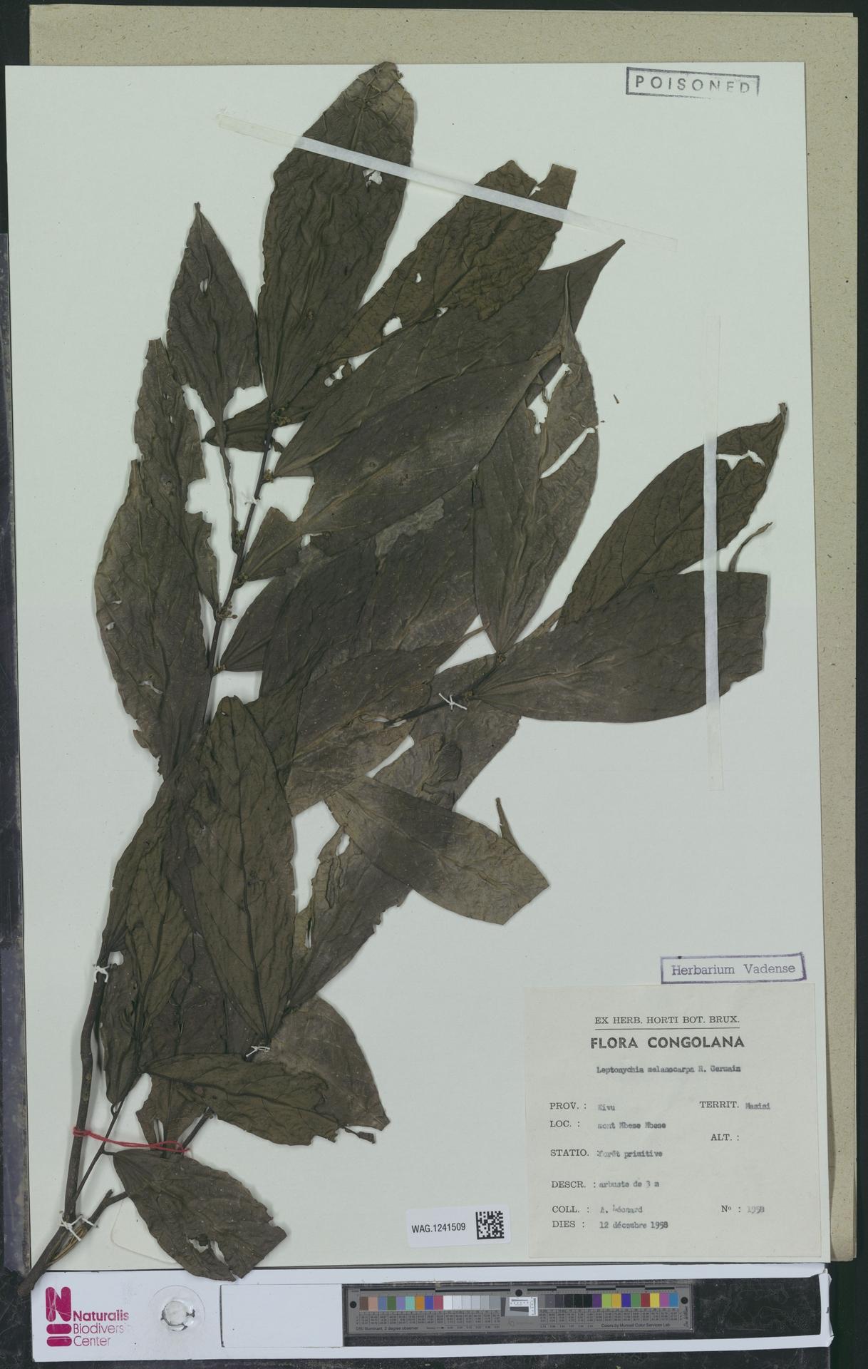 WAG.1241509   Leptonychia melanocarpa R.Germ.